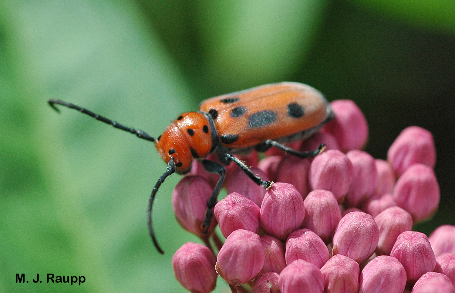 With antennae almost as long as its body it is easy to see where the milkweed longhorned beetle gets its name