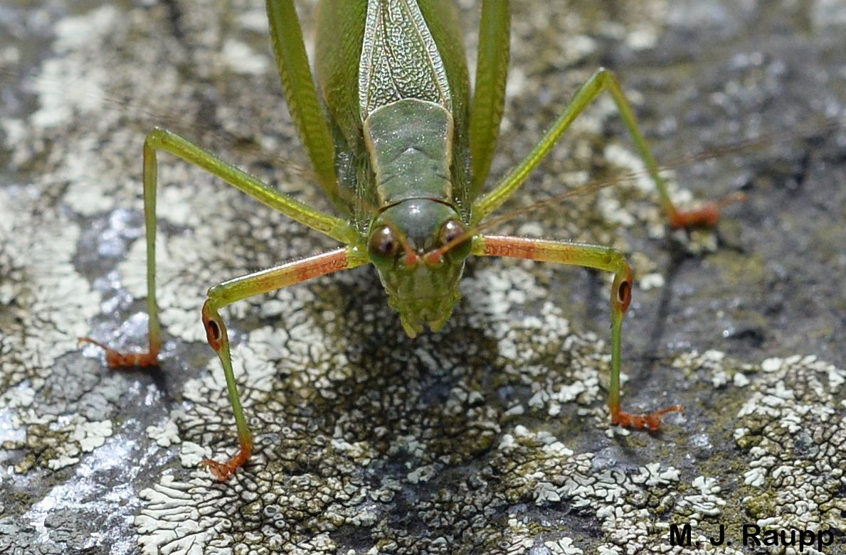 """Small dark openings on the front legs just below the """"knees"""" of this little beauty are the """"ears"""" of the katydid.        Normal   0           false   false   false     EN-US   X-NONE   X-NONE                                                                                                                                                                                                                                                                                                                                                                           /* Style Definitions */  table.MsoNormalTable {mso-style-name:""""Table Normal""""; mso-tstyle-rowband-size:0; mso-tstyle-colband-size:0; mso-style-noshow:yes; mso-style-priority:99; mso-style-parent:""""""""; mso-padding-alt:0in 5.4pt 0in 5.4pt; mso-para-margin:0in; mso-para-margin-bottom:.0001pt; mso-pagination:widow-orphan; font-size:10.0pt; font-family:""""Times New Roman"""",""""serif"""";}"""
