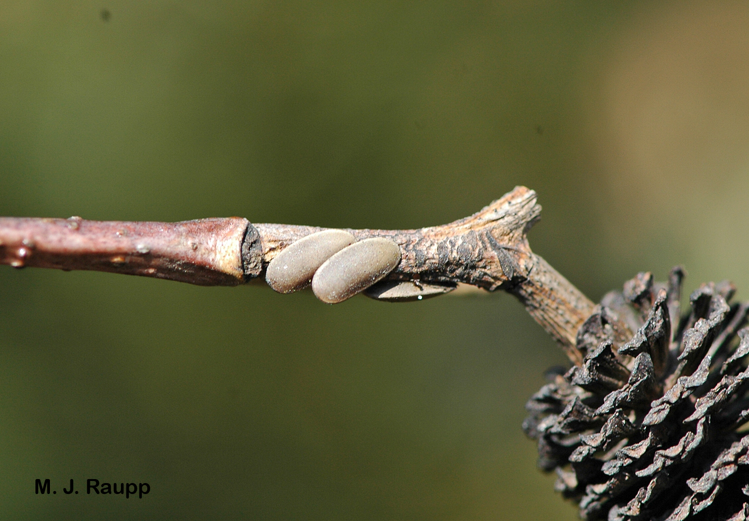 Eggs of katydids are often deposited on small branches of trees and shrubs.