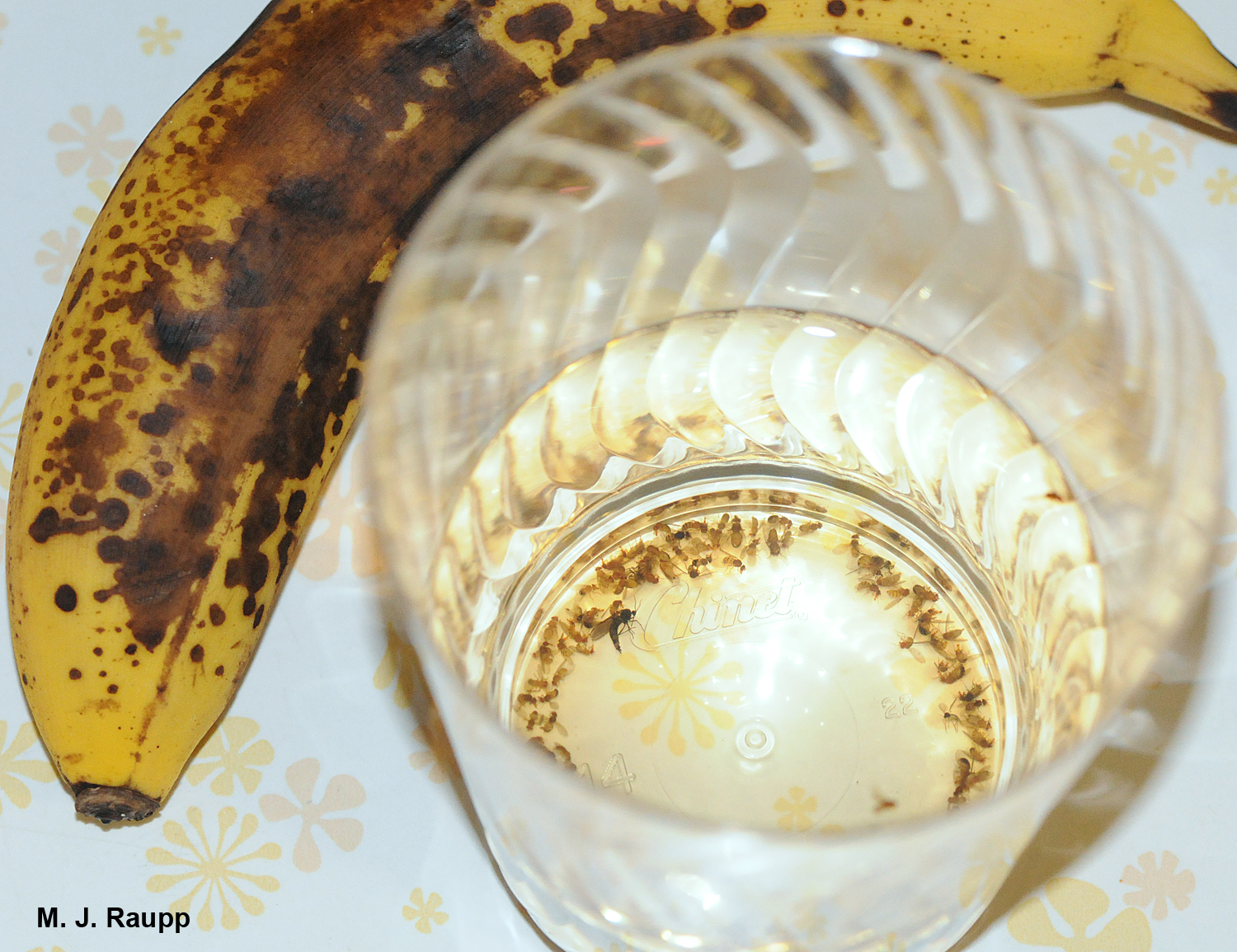 Yeasty odors of fermenting fruit and wine vinegar lure fruit flies to their death.