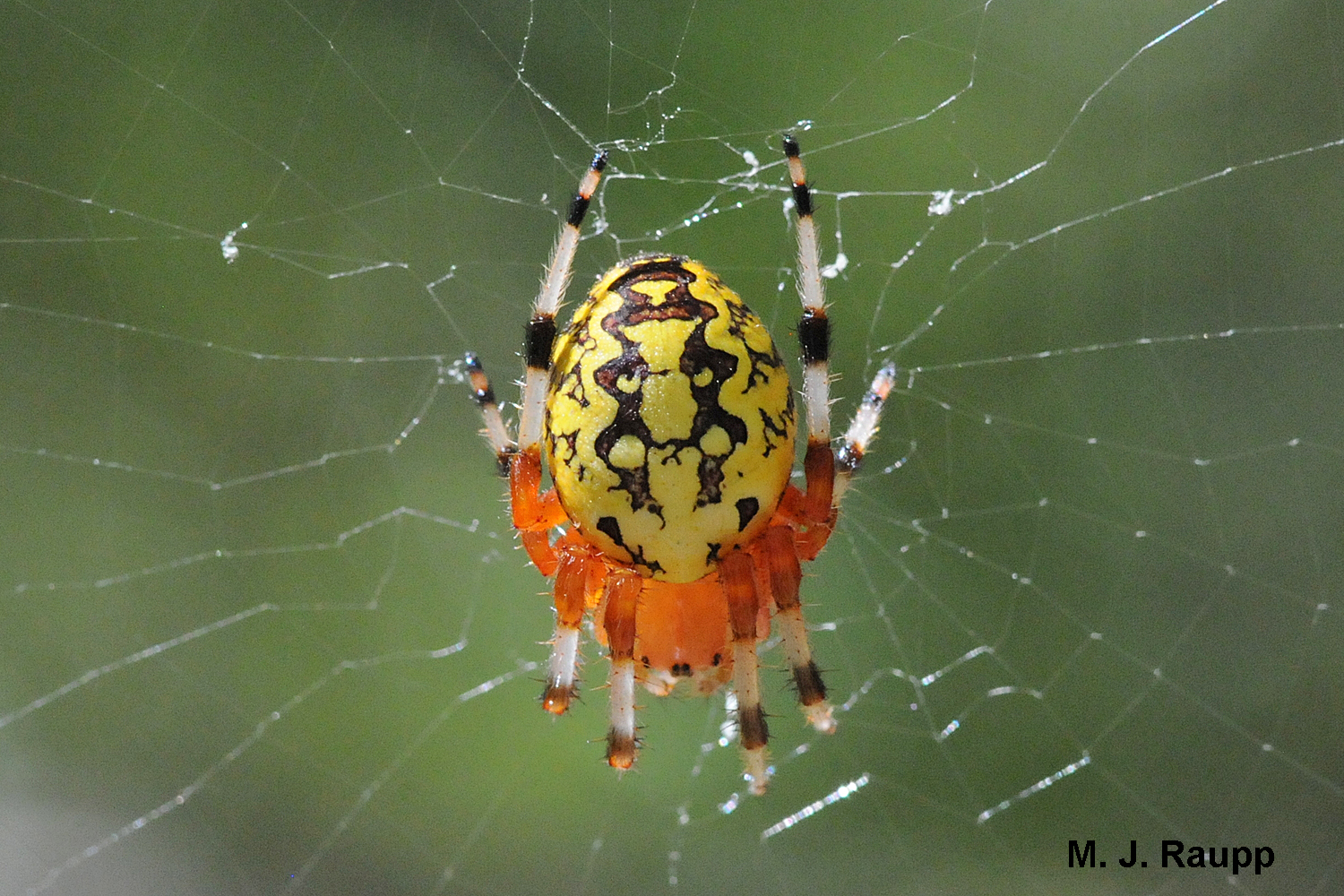800x600         When not hiding in their retreat, marbled orb weavers sometimes hang out in the center of their web.          Normal   0           false   false   false     EN-US   X-NONE   X-NONE                                  MicrosoftInternetExplorer4