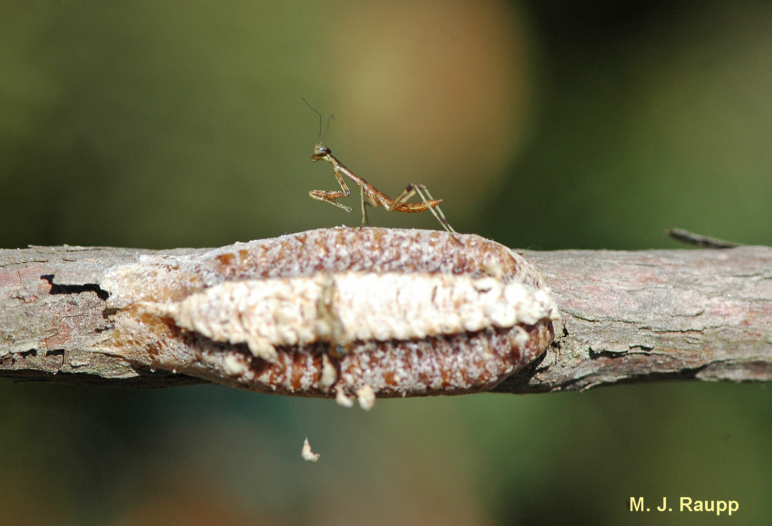 Surviving Winter Part Iii Egg Cases Of The Praying Mantis I