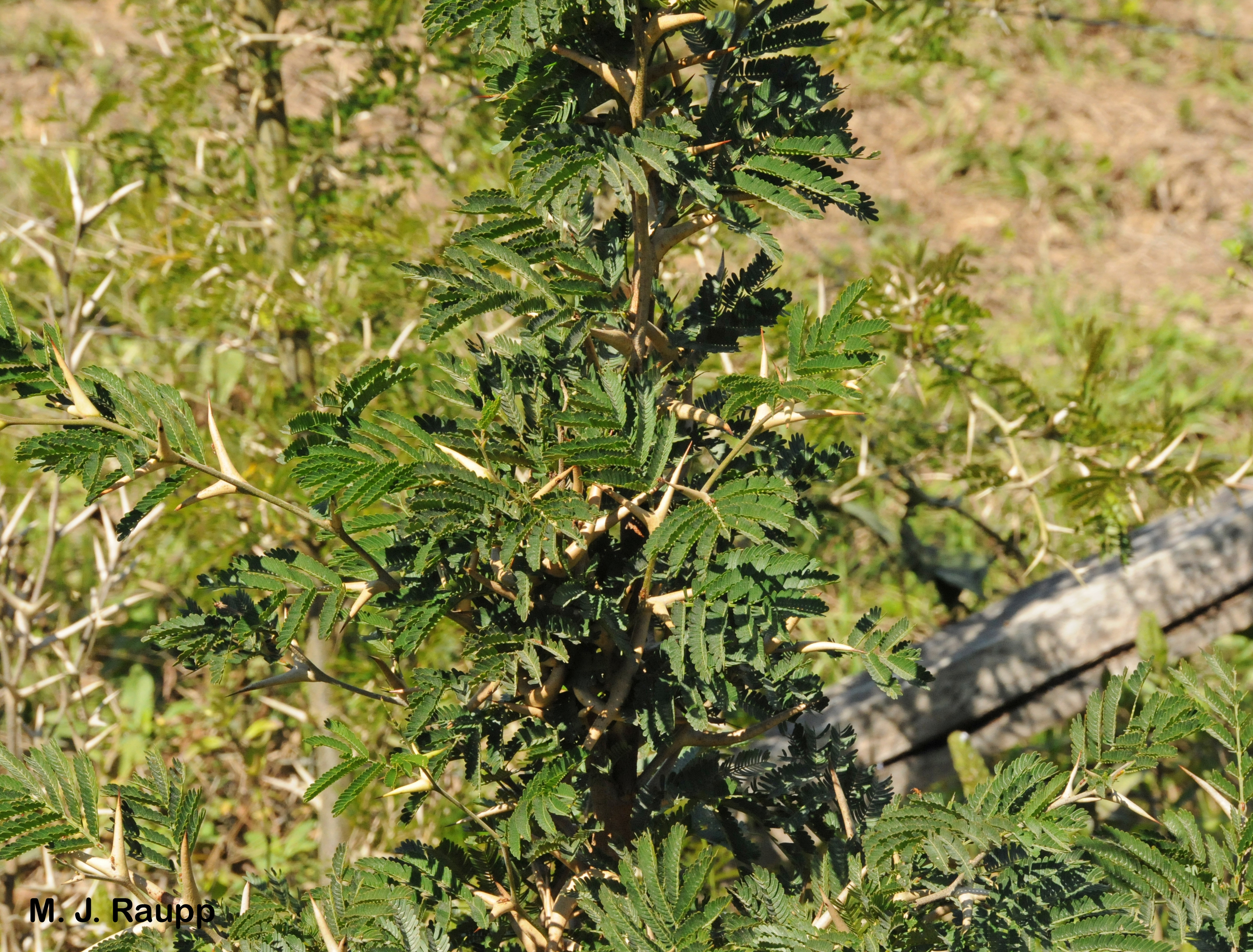 The bullhorn acacia is armed with a variety of defenses against hungry animals and competitive plants.       Normal   0           false   false   false     EN-US   X-NONE   X-NONE
