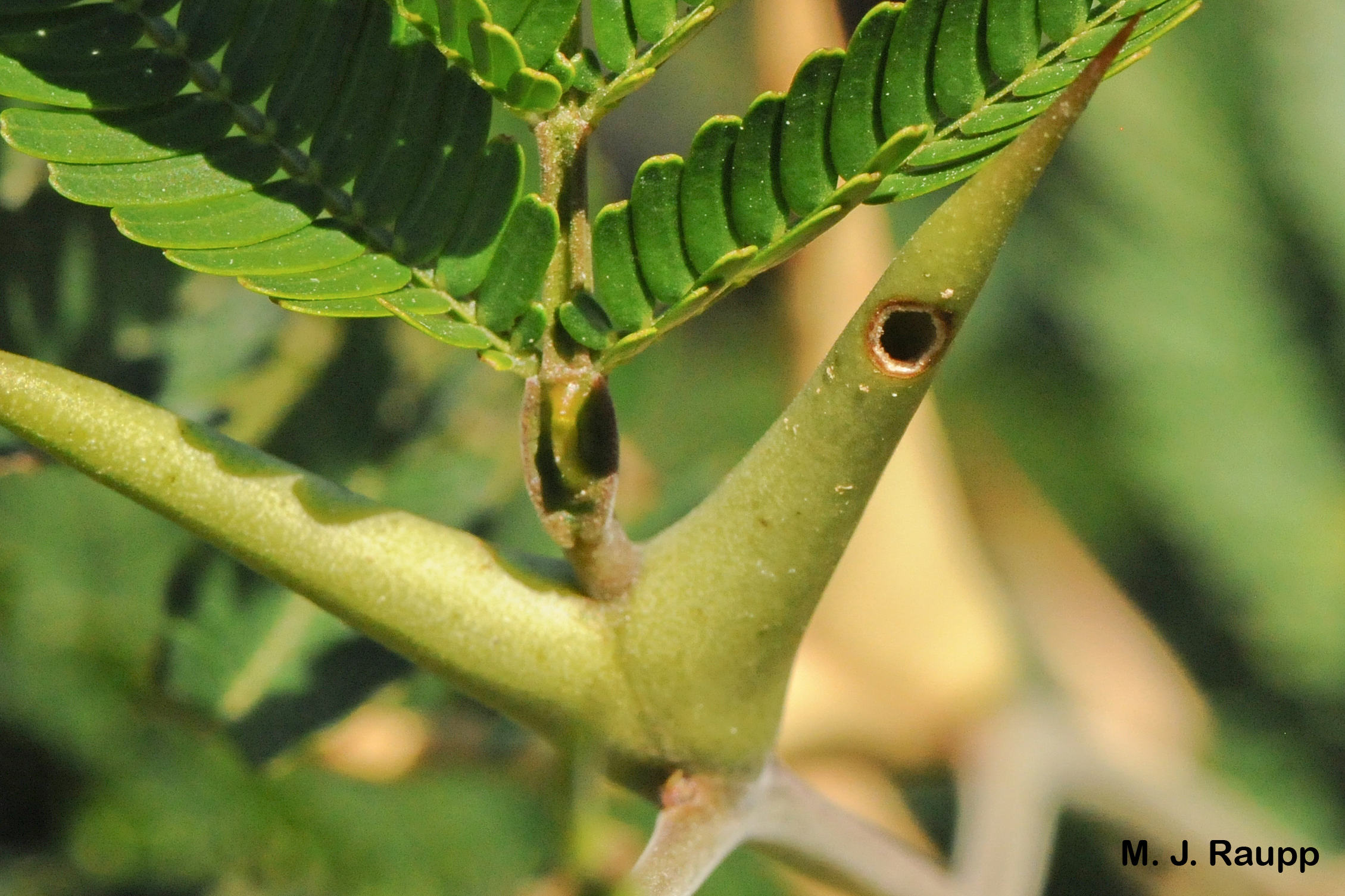 """Small holes in the Acacia thorn allow ants to enter and exit.          Normal   0           false   false   false     EN-US   X-NONE   X-NONE                                                                                                                                                                                                                                                                                                                                                                           /* Style Definitions */  table.MsoNormalTable {mso-style-name:""""Table Normal""""; mso-tstyle-rowband-size:0; mso-tstyle-colband-size:0; mso-style-noshow:yes; mso-style-priority:99; mso-style-parent:""""""""; mso-padding-alt:0in 5.4pt 0in 5.4pt; mso-para-margin-top:0in; mso-para-margin-right:0in; mso-para-margin-bottom:10.0pt; mso-para-margin-left:0in; line-height:115%; mso-pagination:widow-orphan; font-size:11.0pt; font-family:""""Calibri"""",""""sans-serif""""; mso-ascii-font-family:Calibri; mso-ascii-theme-font:minor-latin; mso-hansi-font-family:Calibri; mso-hansi-theme-font:minor-latin;}"""