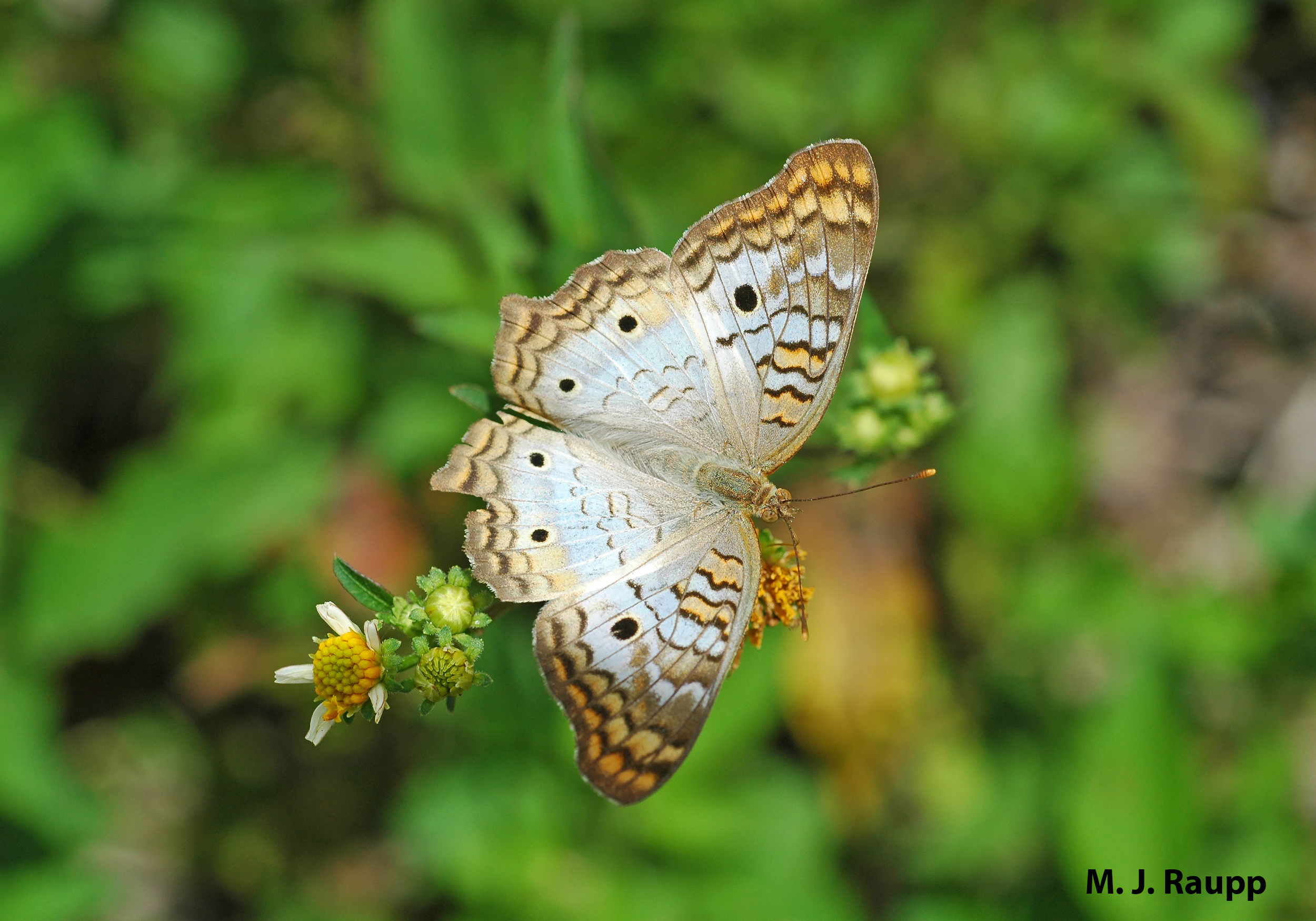"""A gorgeous white peacock butterfly surveys a marshy meadow at the edge of the rainforest in Belize.          Normal   0           false   false   false     EN-US   X-NONE   X-NONE                                                                                                                                                                                                                                                                                                                                                                           /* Style Definitions */  table.MsoNormalTable {mso-style-name:""""Table Normal""""; mso-tstyle-rowband-size:0; mso-tstyle-colband-size:0; mso-style-noshow:yes; mso-style-priority:99; mso-style-parent:""""""""; mso-padding-alt:0in 5.4pt 0in 5.4pt; mso-para-margin-top:0in; mso-para-margin-right:0in; mso-para-margin-bottom:10.0pt; mso-para-margin-left:0in; line-height:115%; mso-pagination:widow-orphan; font-size:11.0pt; font-family:""""Calibri"""",""""sans-serif""""; mso-ascii-font-family:Calibri; mso-ascii-theme-font:minor-latin; mso-hansi-font-family:Calibri; mso-hansi-theme-font:minor-latin;}"""