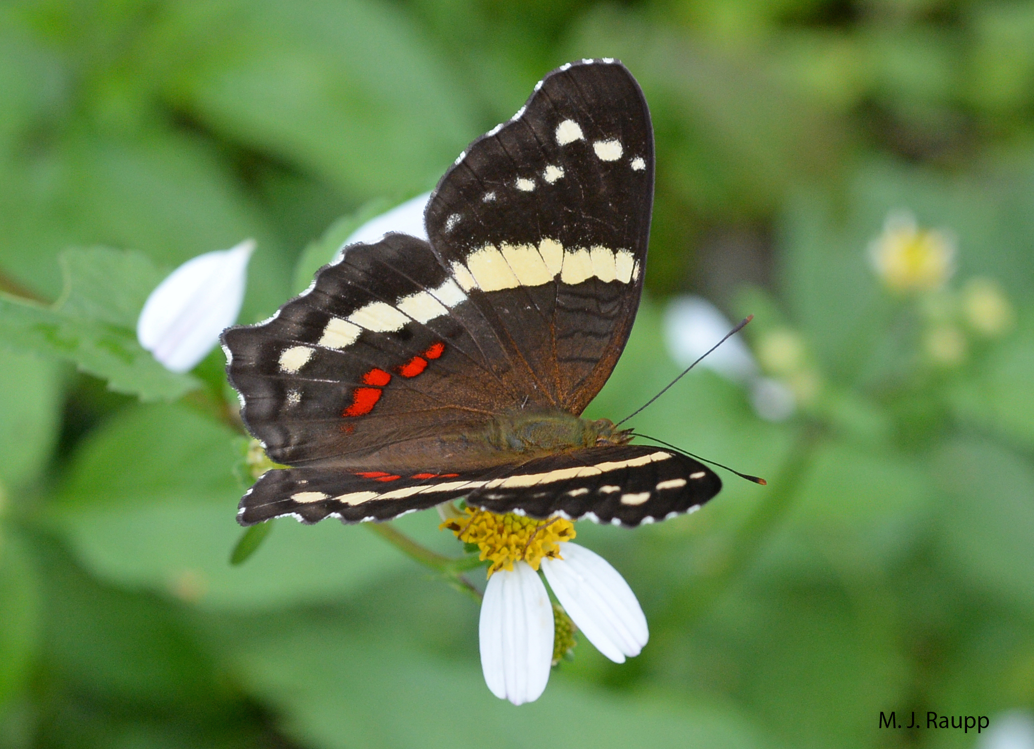 """Contrasting colors of dorsal wing bars make the banded peacock one of the most beautiful butterflies in the rainforest.     Normal   0           false   false   false     EN-US   X-NONE   X-NONE                                                                                                                                                                                                                                                                                                                                                                    /* Style Definitions */  table.MsoNormalTable {mso-style-name:""""Table Normal""""; mso-tstyle-rowband-size:0; mso-tstyle-colband-size:0; mso-style-noshow:yes; mso-style-priority:99; mso-style-parent:""""""""; mso-padding-alt:0in 5.4pt 0in 5.4pt; mso-para-margin-top:0in; mso-para-margin-right:0in; mso-para-margin-bottom:10.0pt; mso-para-margin-left:0in; line-height:115%; mso-pagination:widow-orphan; font-size:11.0pt; font-family:""""Calibri"""",""""sans-serif""""; mso-ascii-font-family:Calibri; mso-ascii-theme-font:minor-latin; mso-hansi-font-family:Calibri; mso-hansi-theme-font:minor-latin;}"""
