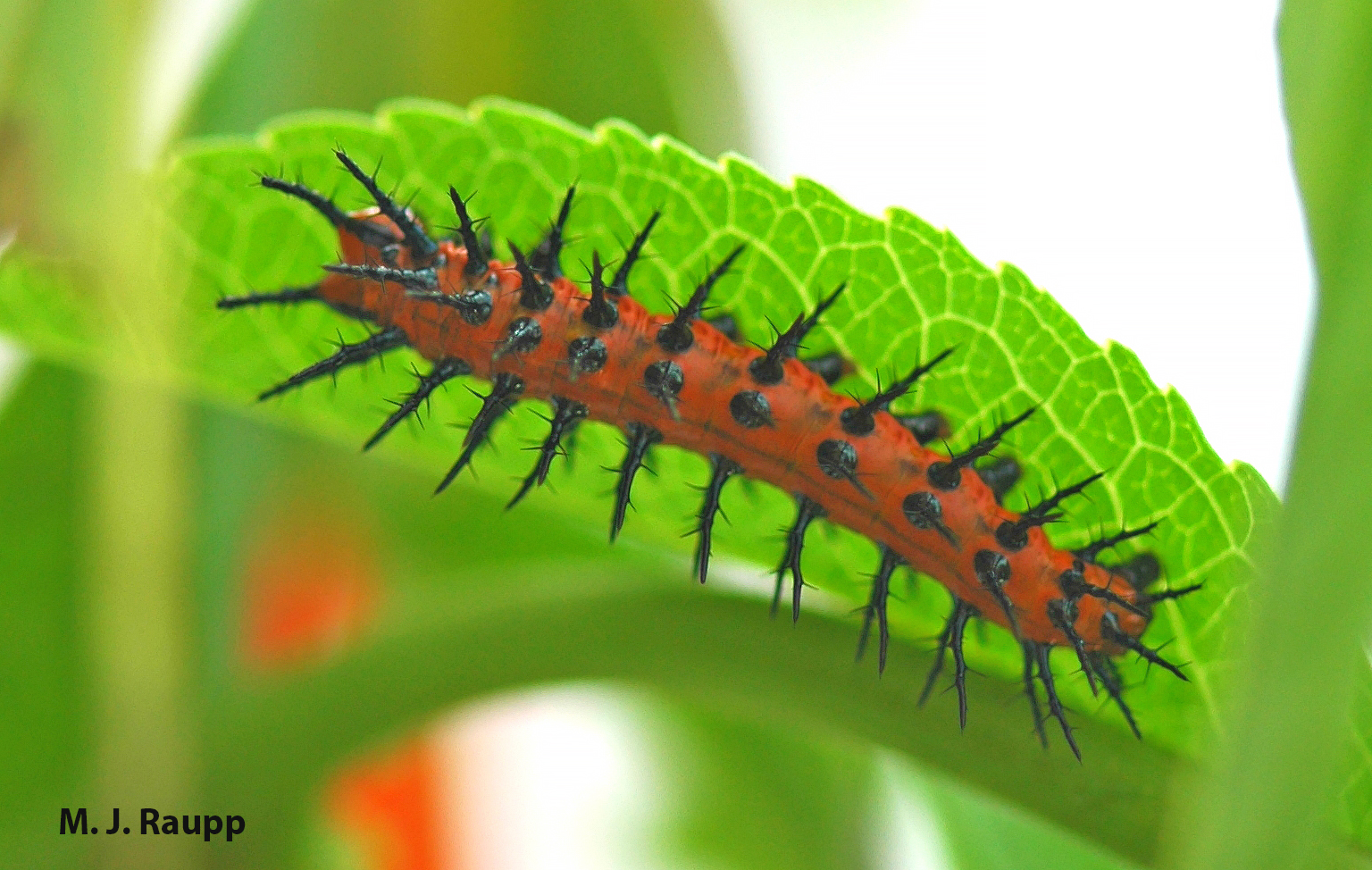 """800x600            800x600       Striking contrasts of orange body and black spines may serve as a warning to predators to avoid making a meal of Gulf fritillary caterpillars .     Normal   0           false   false   false     EN-US   X-NONE   X-NONE                                  MicrosoftInternetExplorer4                                                                                                                                                                                                                                                                                                                                     /* Style Definitions */  table.MsoNormalTable {mso-style-name:""""Table Normal""""; mso-tstyle-rowband-size:0; mso-tstyle-colband-size:0; mso-style-noshow:yes; mso-style-priority:99; mso-style-parent:""""""""; mso-padding-alt:0in 5.4pt 0in 5.4pt; mso-para-margin:0in; mso-para-margin-bottom:.0001pt; mso-pagination:widow-orphan; font-size:10.0pt; font-family:""""Times New Roman"""",""""serif"""";}"""