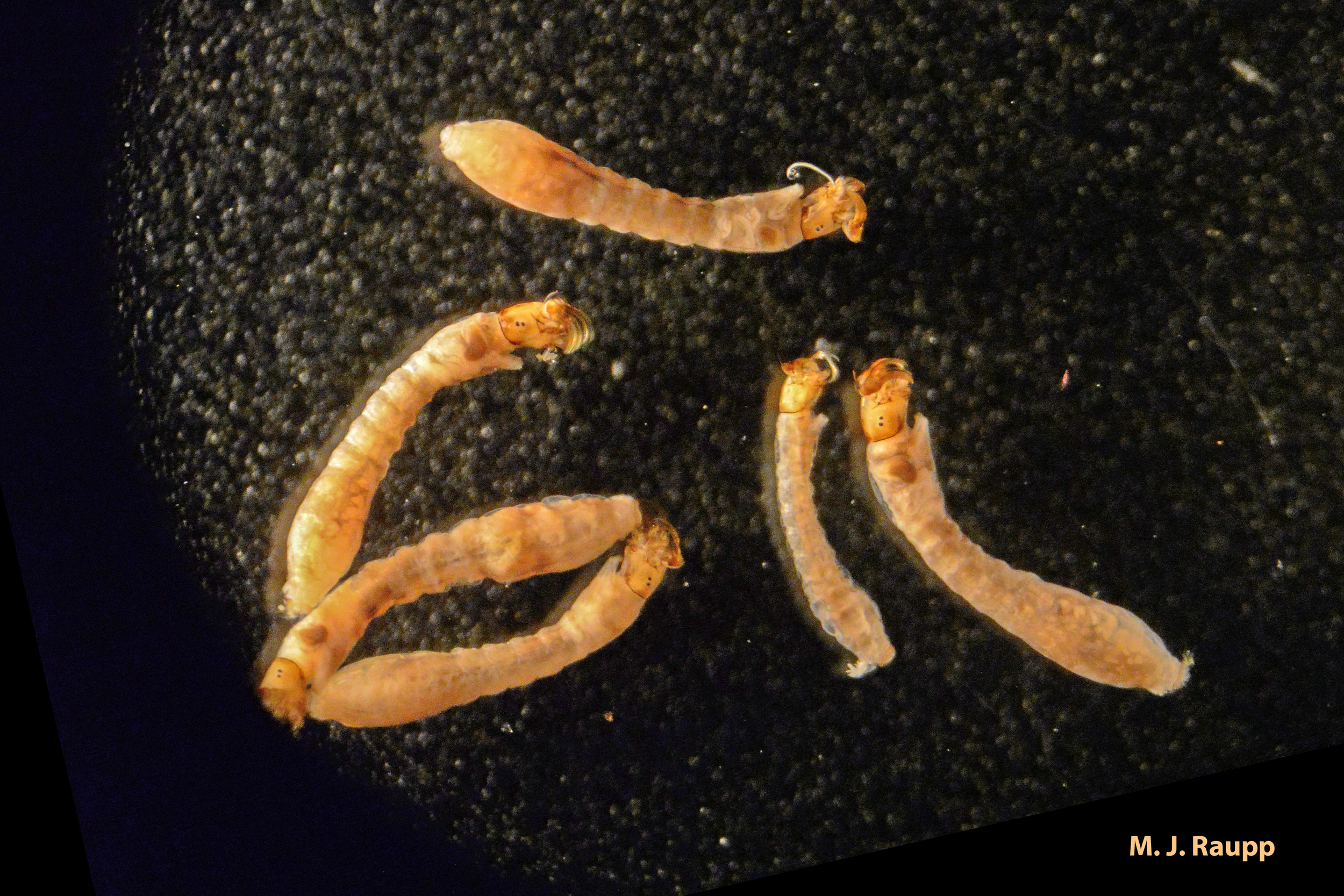 """Strange black fly larvae live the life aquatic where they attach to rocks and feed on minute animals and plants on the surface of the substrate.      Normal   0           false   false   false     EN-US   X-NONE   X-NONE                                                                                                                                                                                                                                                                                                                                                                    /* Style Definitions */  table.MsoNormalTable {mso-style-name:""""Table Normal""""; mso-tstyle-rowband-size:0; mso-tstyle-colband-size:0; mso-style-noshow:yes; mso-style-priority:99; mso-style-parent:""""""""; mso-padding-alt:0in 5.4pt 0in 5.4pt; mso-para-margin-top:0in; mso-para-margin-right:0in; mso-para-margin-bottom:10.0pt; mso-para-margin-left:0in; line-height:115%; mso-pagination:widow-orphan; font-size:11.0pt; font-family:""""Calibri"""",""""sans-serif""""; mso-ascii-font-family:Calibri; mso-ascii-theme-font:minor-latin; mso-hansi-font-family:Calibri; mso-hansi-theme-font:minor-latin;}"""