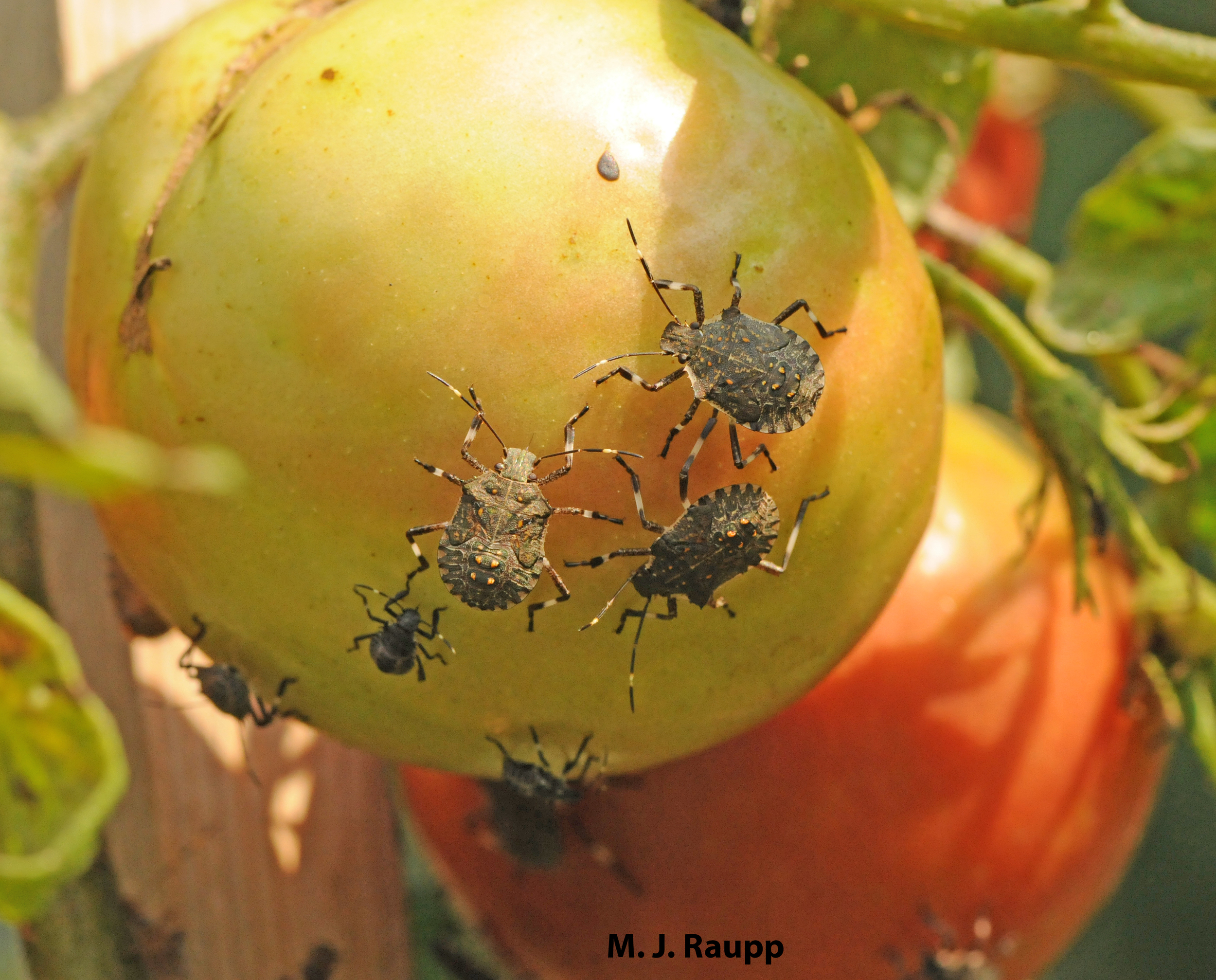 Brown marmorated stink bugs aren't shy about helping themselves to the bounty of your garden.
