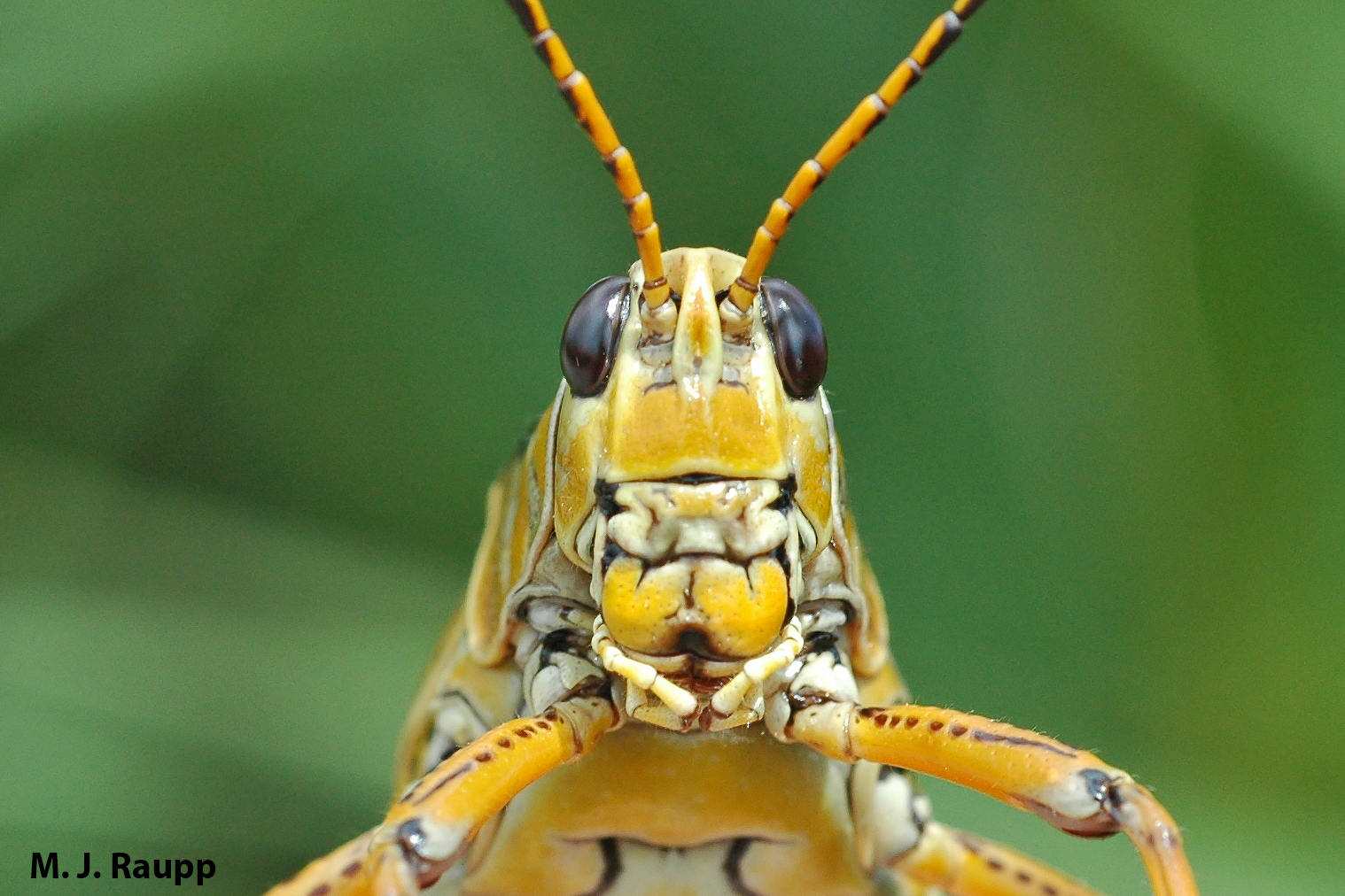 Lubber locusts have lubberly faces.