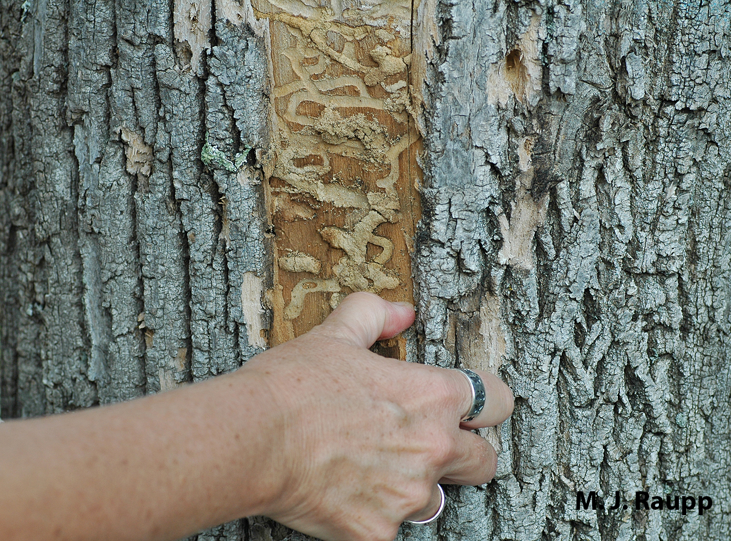 Emerald Ash Borer larvae create serpentine galleries beneath the bark. By consuming cambium, phloem, and sap wood, the borer effectively girdles the tree condemning it to death.