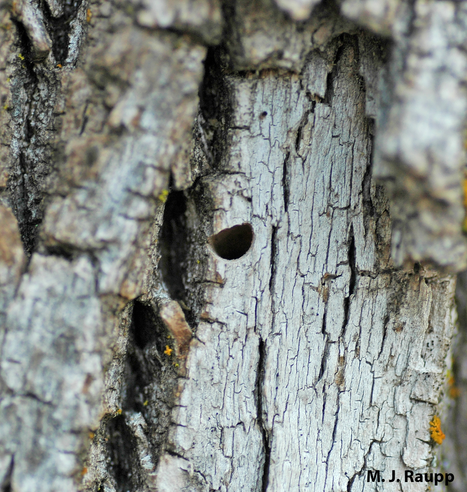 """The Emerald Ash Borer adult leaves behind a """"D"""" shaped exit hole in the bark of the tree. This is a good clue for diagnosing the presence of this pest."""