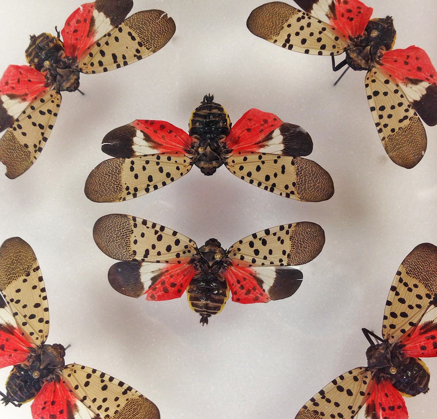 Spectacularly beautiful but nonetheless pests, spotted lanternflies have arrived in the United States.