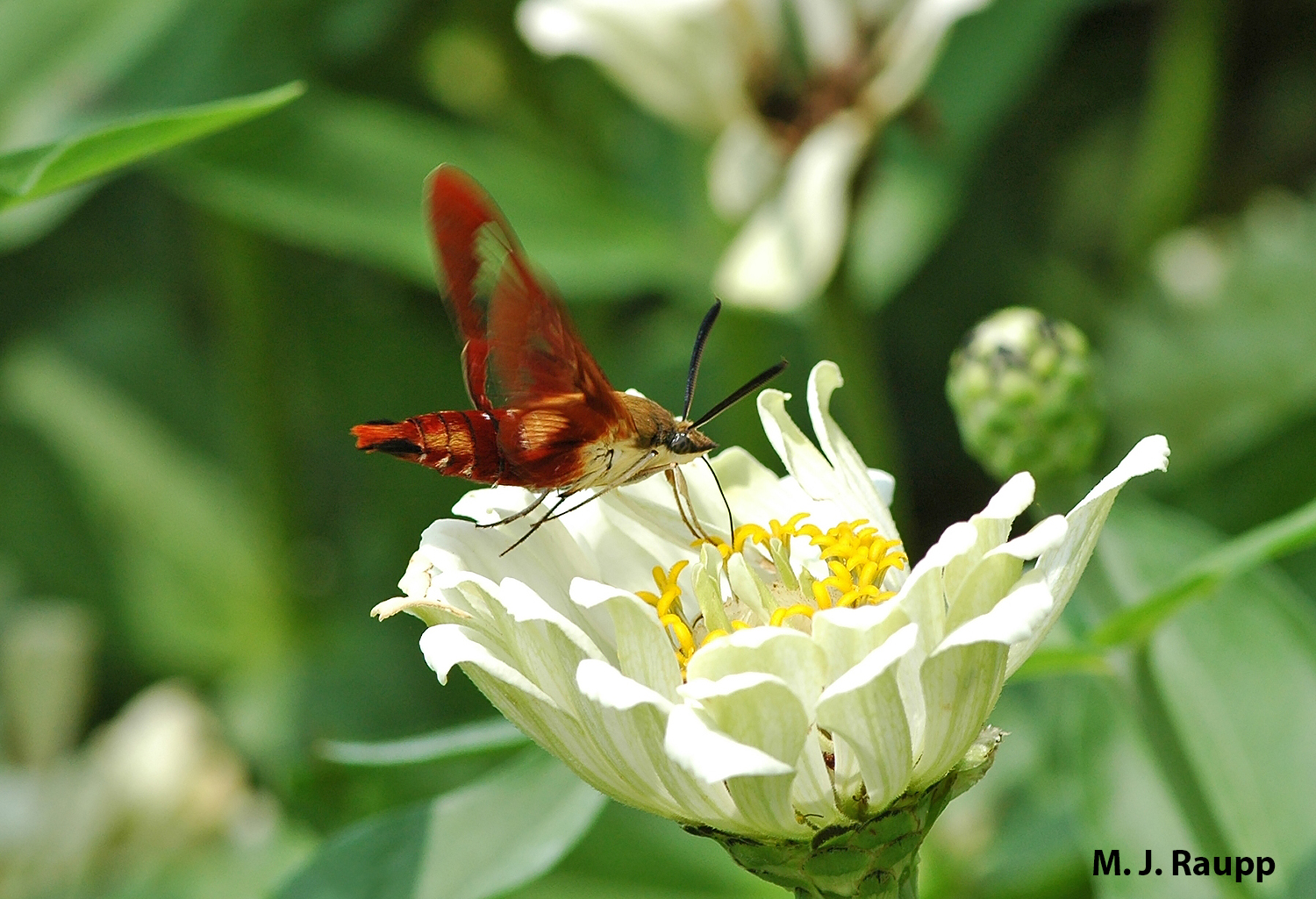 Hummingbird moths are among the most beautiful and interesting members of the Lepidoptera clan.