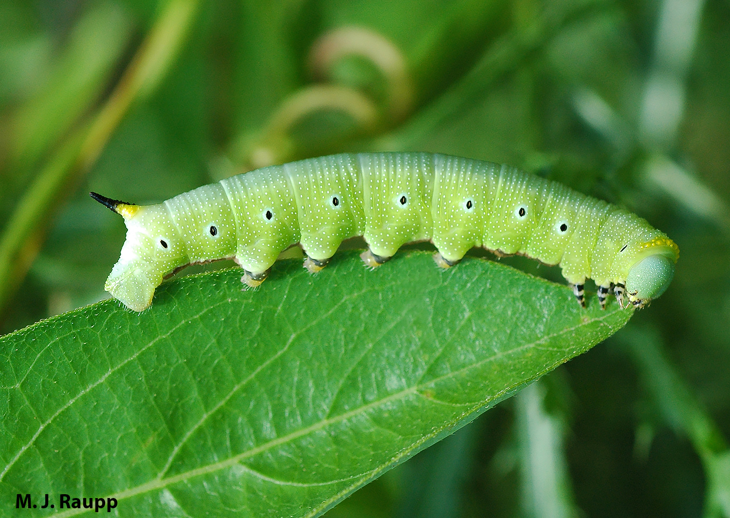 The caterpillar of the hummingbird moth bears a horn at the tip of its tail that gives rise to the colloquial name of these larvae.