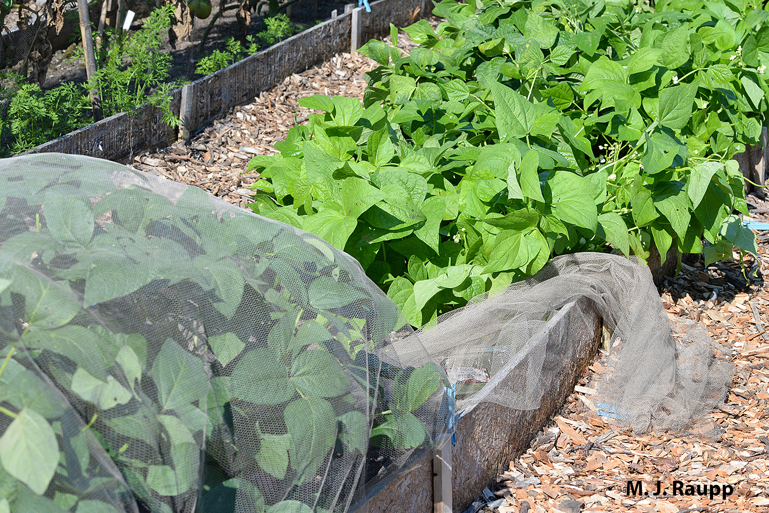 Beans protected by a floating row cover (cover pulled back) look great even late in the season.