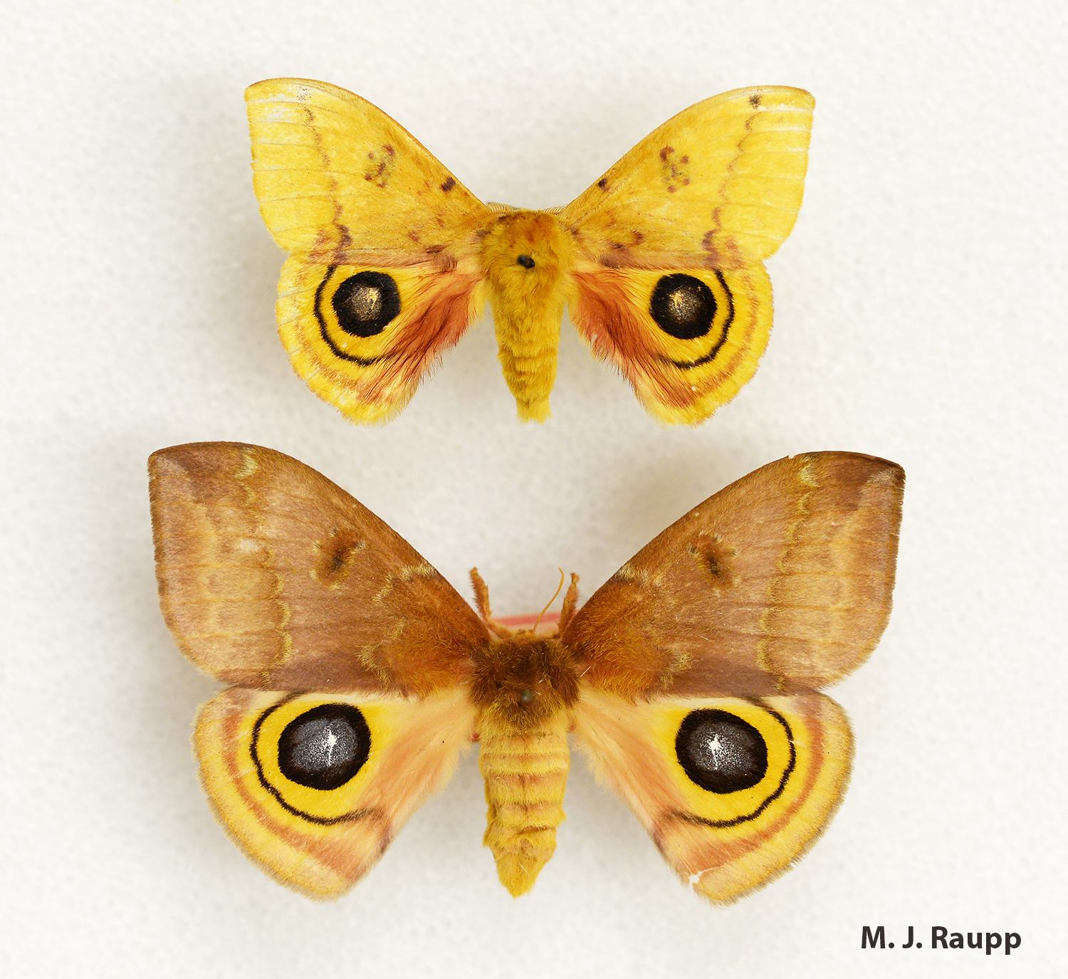 False eyespots on the hind wing may help beautiful male (top) and female (bottom) Io moths gain protection from hungry predators.