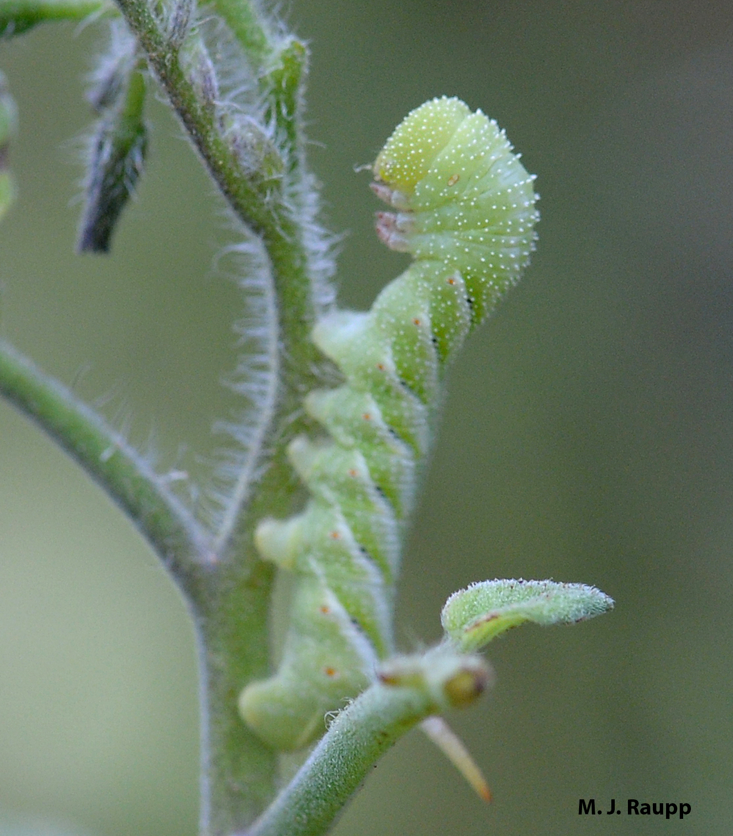 Leaves of my tomato were the last meal for this hornworm and parasitic wasps had the last laugh.