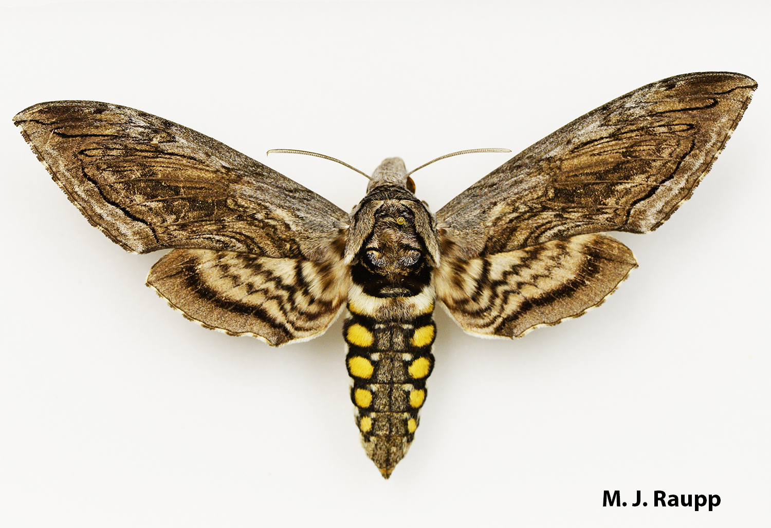 The gorgeous hawk moth pollinates plants at night and lays eggs on tomatoes that hatch into naughty hornworms.