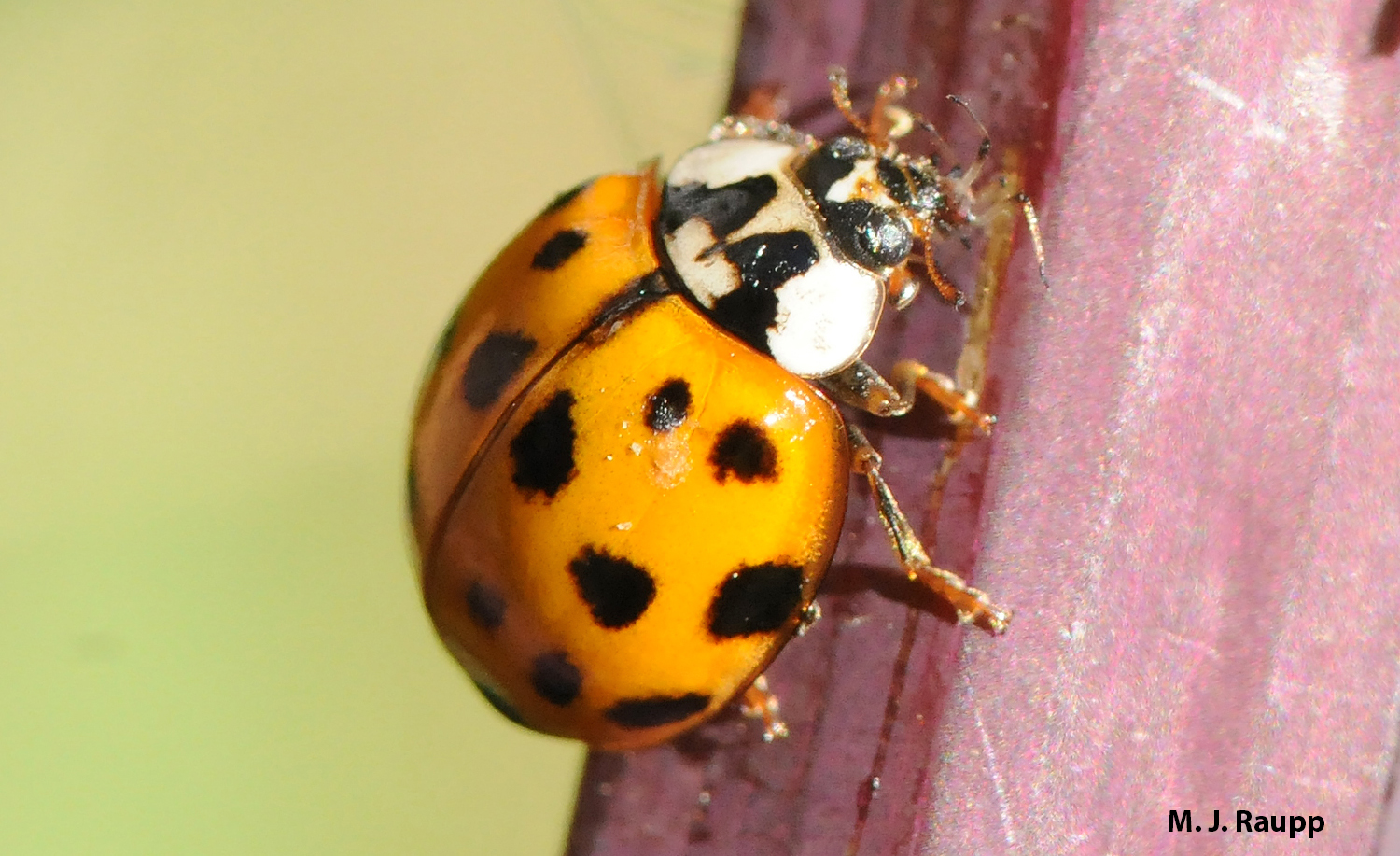 With the remains of the last victim clenched in her jaws, a multicolored Asian lady beetle is ready to find her next meal.