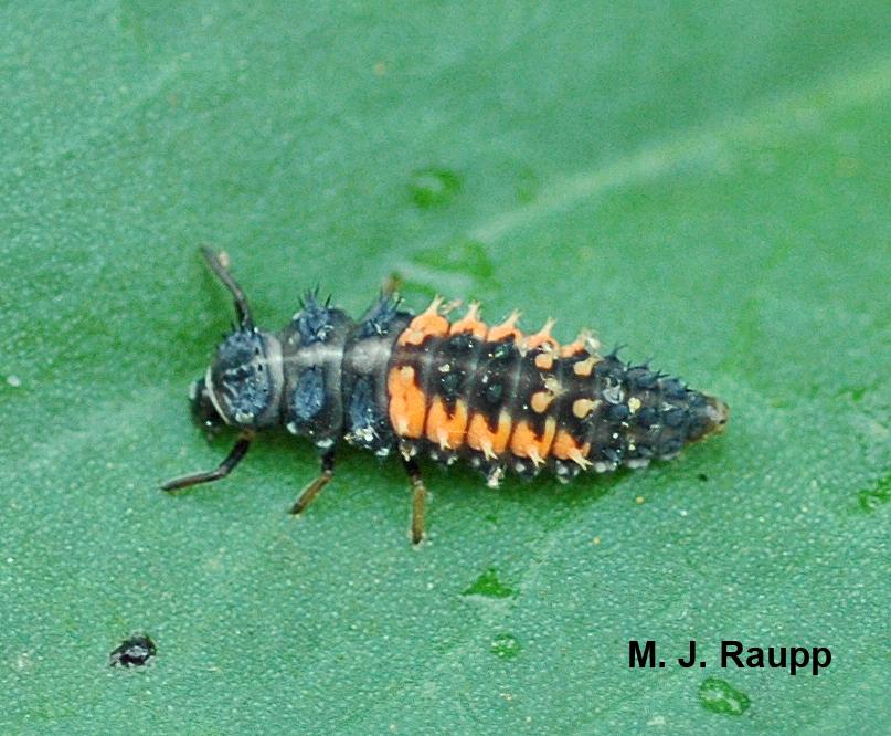 Harmonia  larvae look like tiny alligators.