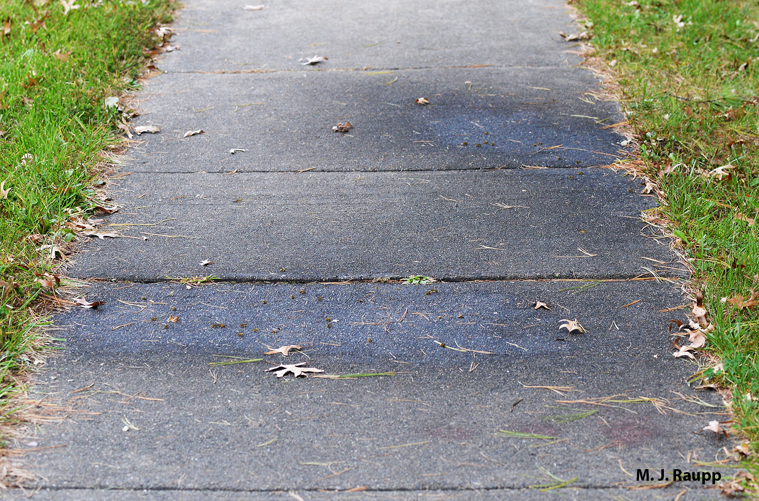 Dark wet patches of honeydew on a sidewalk mark the spot where white pine aphids feed on branches above.