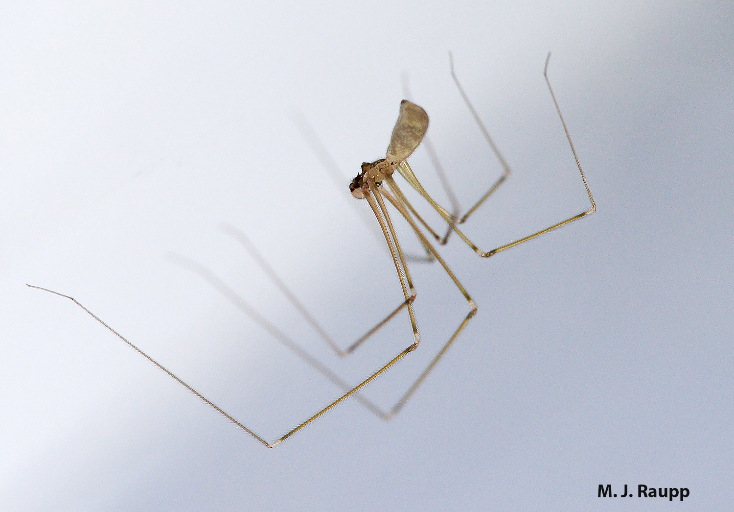 It's easy to see why cellar spiders are often called daddy-long-legs.