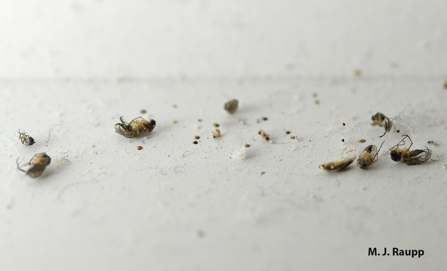 A pile of tiny insect carcasses often mark the spot of a cellar spider's lair.