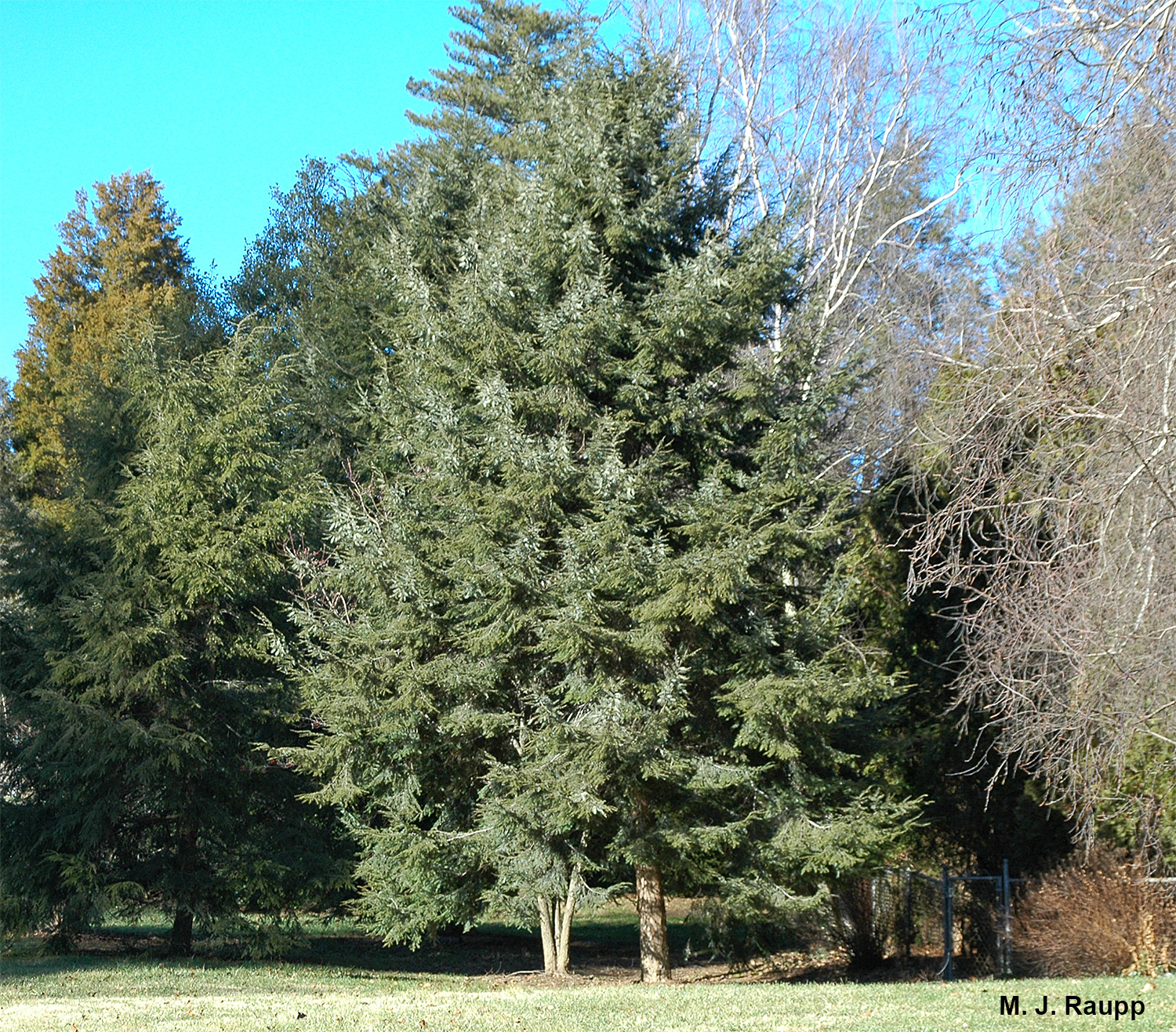 Eastern hemlocks are beautiful native trees well suited for landscapes.