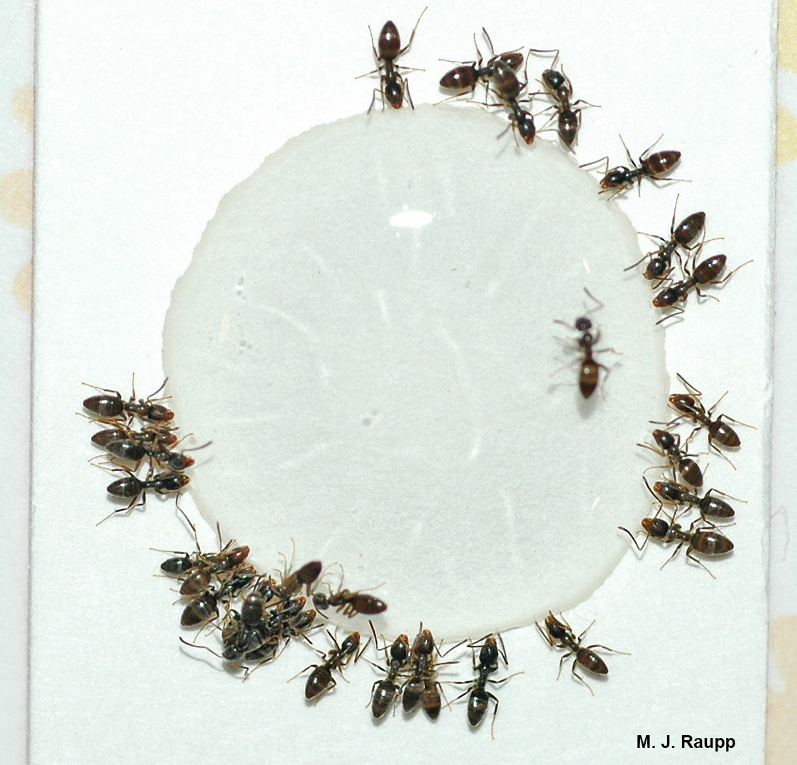 Odorous house ants circle for their last meal, a lethal drink of sugary bait laced with poison.
