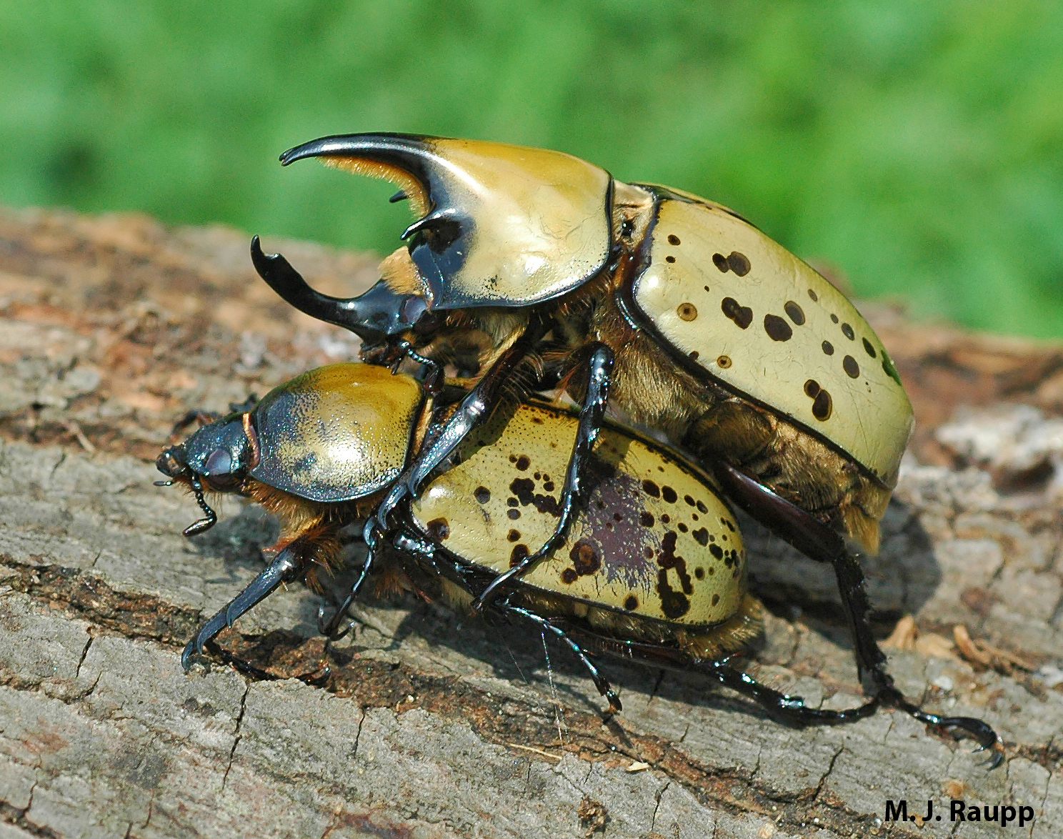 This pair of Hercules beetles doesn't mind a public display of affection. Males bear impressive horns used in combat with other males.