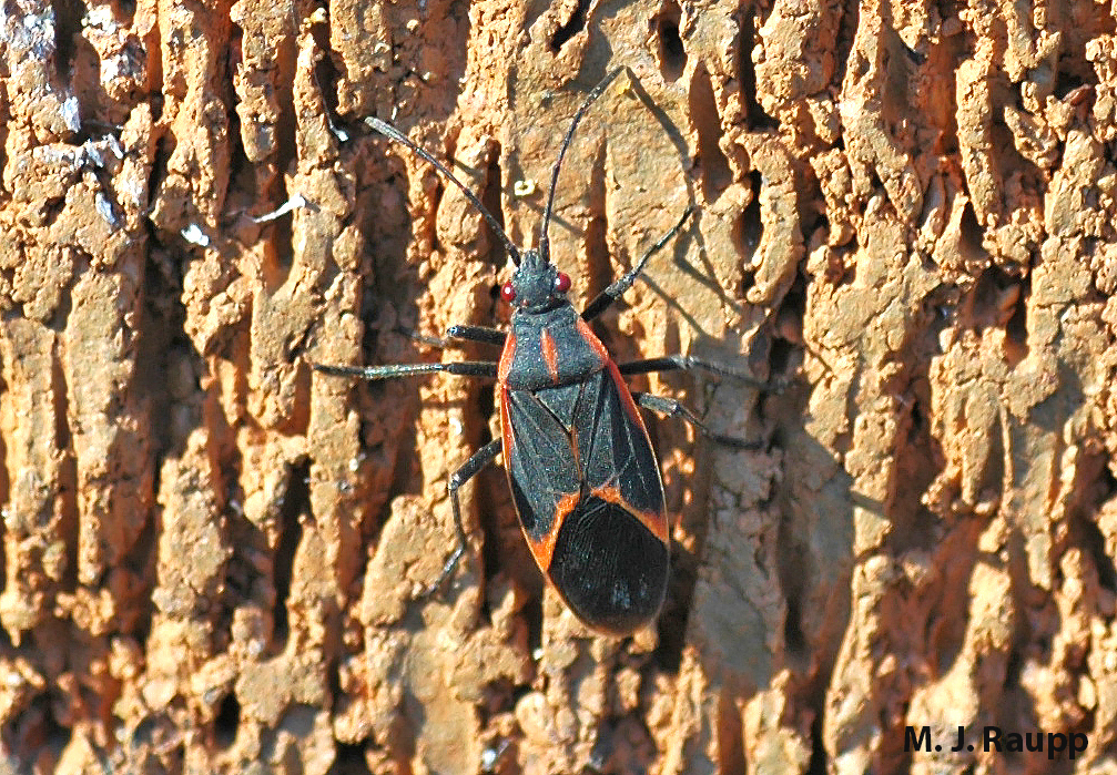 With the return of spring, boxelder bugs are out and about.
