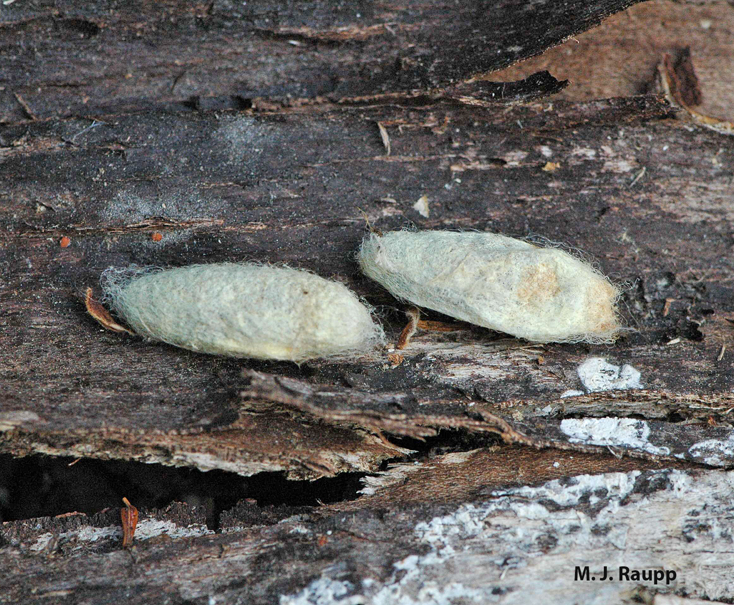 When larval feeding is complete, mature caterpillars wander and find protected locations such as beneath loose bark to spin silken cocoons.