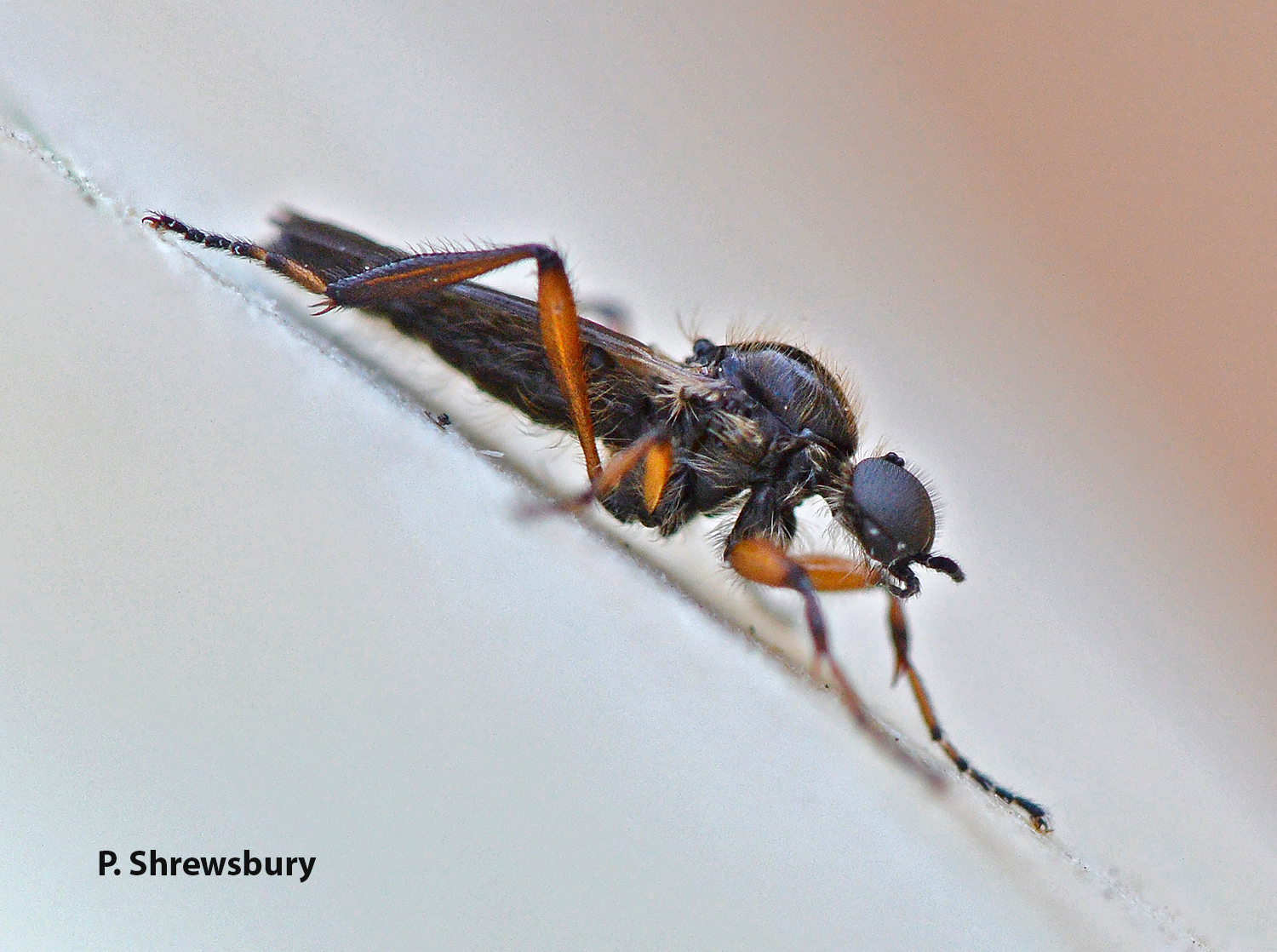 Large eyes of the male March fly provide excellent vision for chasing competitors and selecting mates.