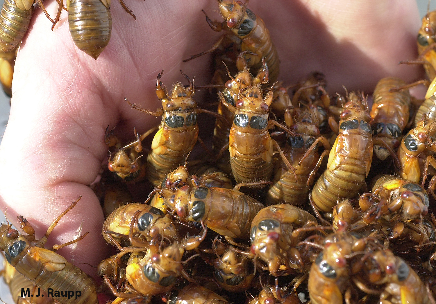 In May, cicada nymphs will appear by the handful in areas treated to Brood V.