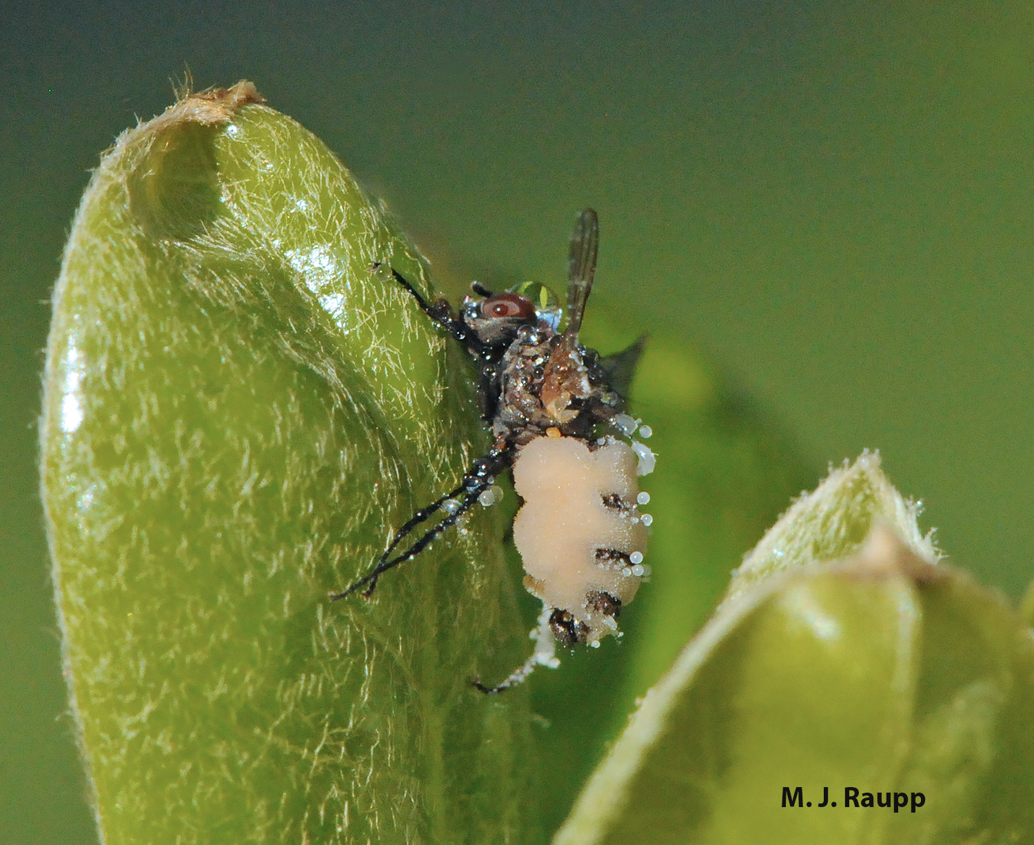 Fungal spores are bustin' out all over the place on this seedcorn maggot fly.