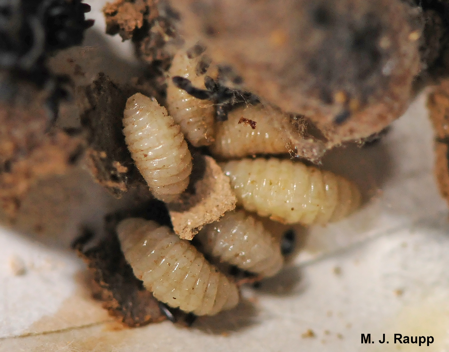 Parasites of an unknown species brought an end to these mason bee babies.