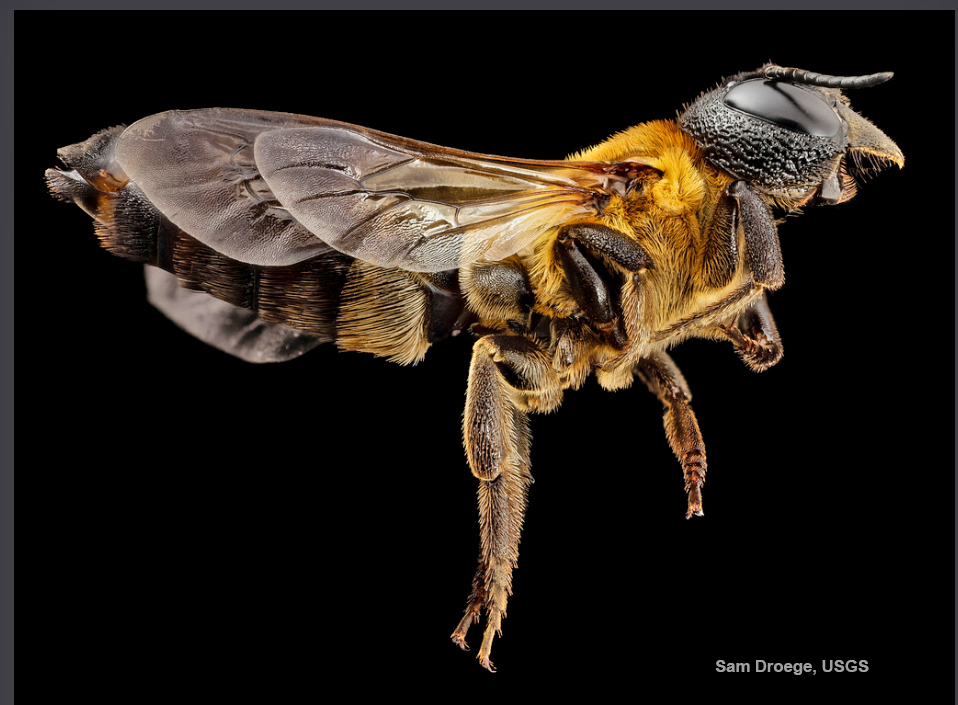 Notice the intricate pattern of sculpting on the head of the giant resin bee. Photo credit Sam Droege, USGS.