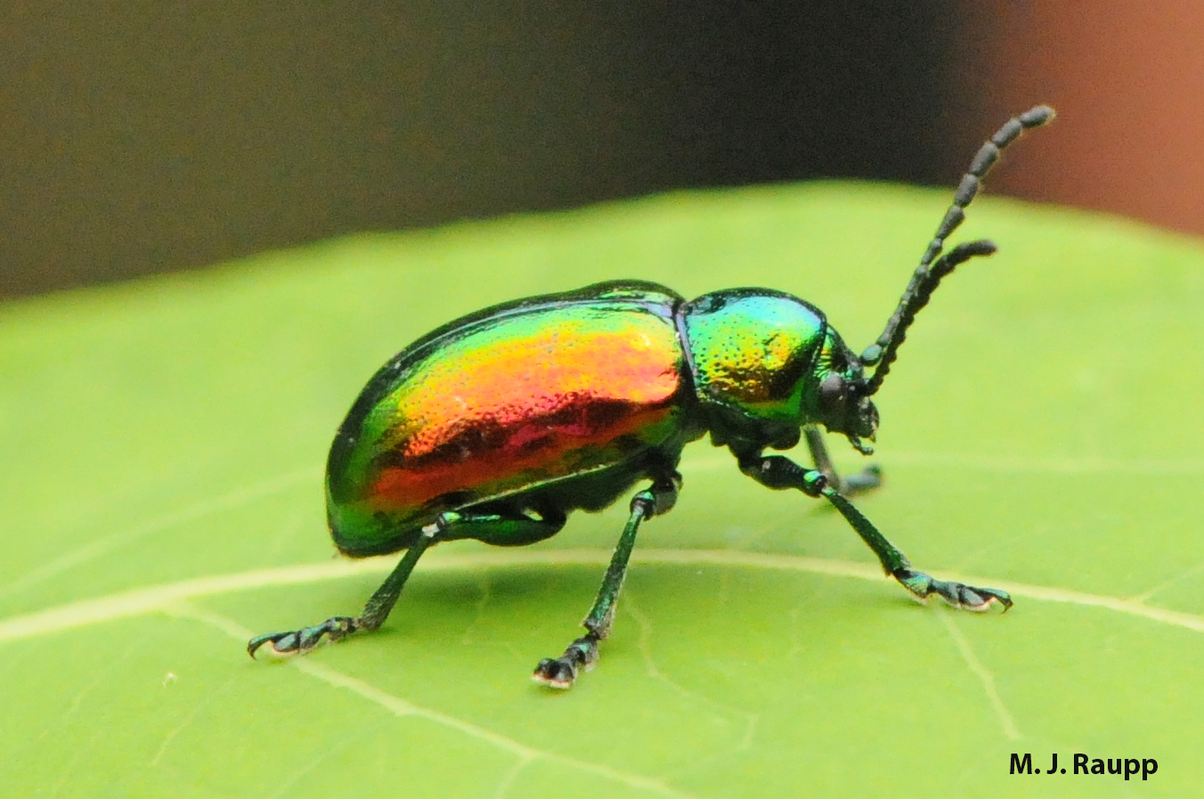 True to its Latin root aurat, meaning gold, the dogbane leaf beetle has hews of gold and its alloys of green, blue, yellow, and red.