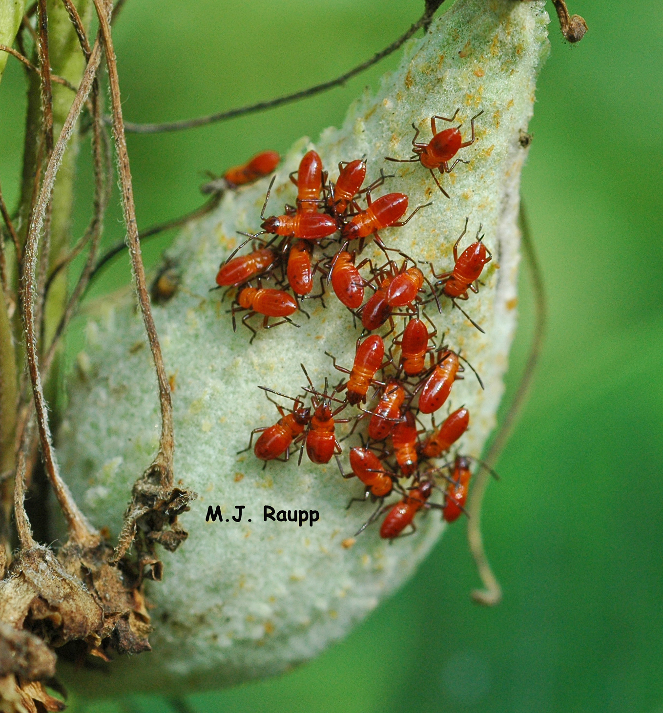Milkweed bugs prefer seed pods to leaves when dining on milkweed.