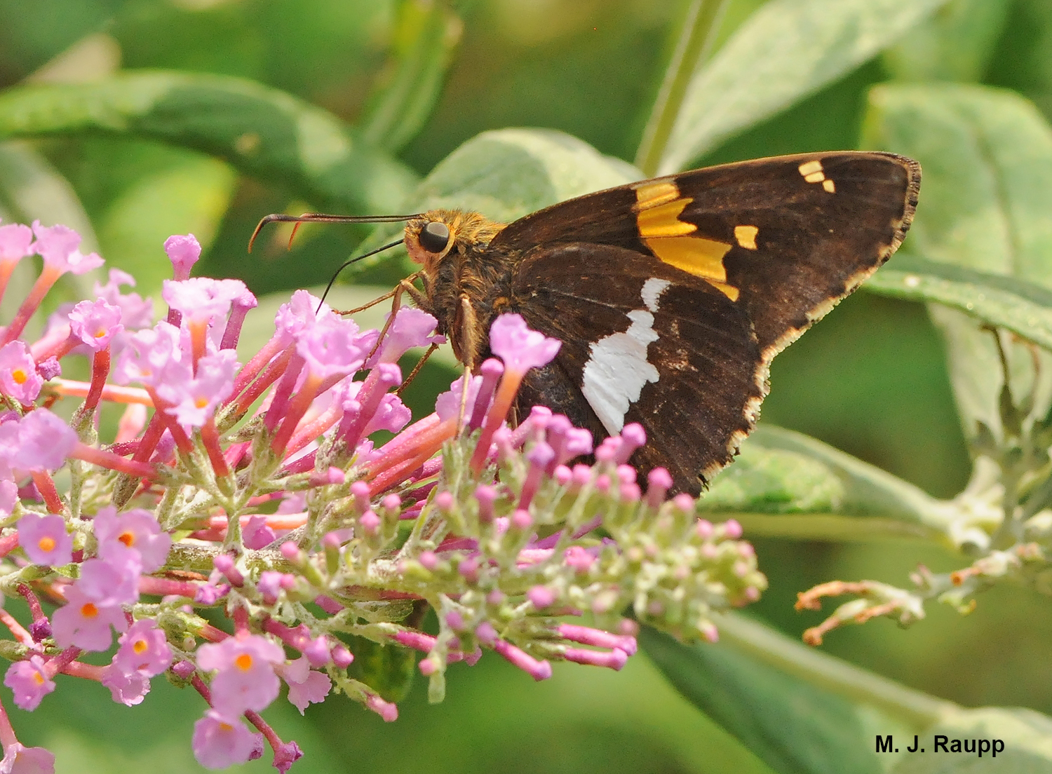 Silver spotted skippers are one of most rambunctious pollinators in the garden.