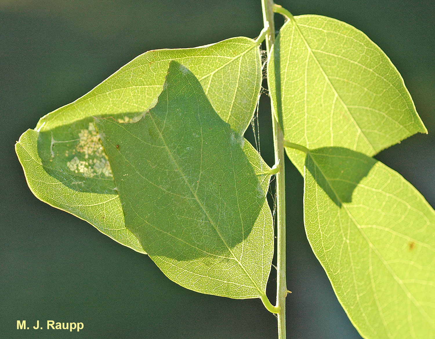 A large silver spotted skipper larva has webbed together two leaves.
