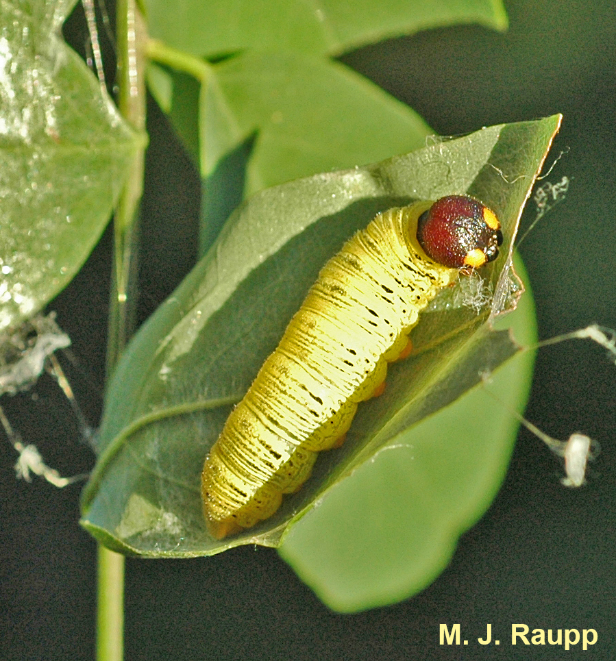 Unfolding the silk-bound leaves reveals the bizarre caterpillar.