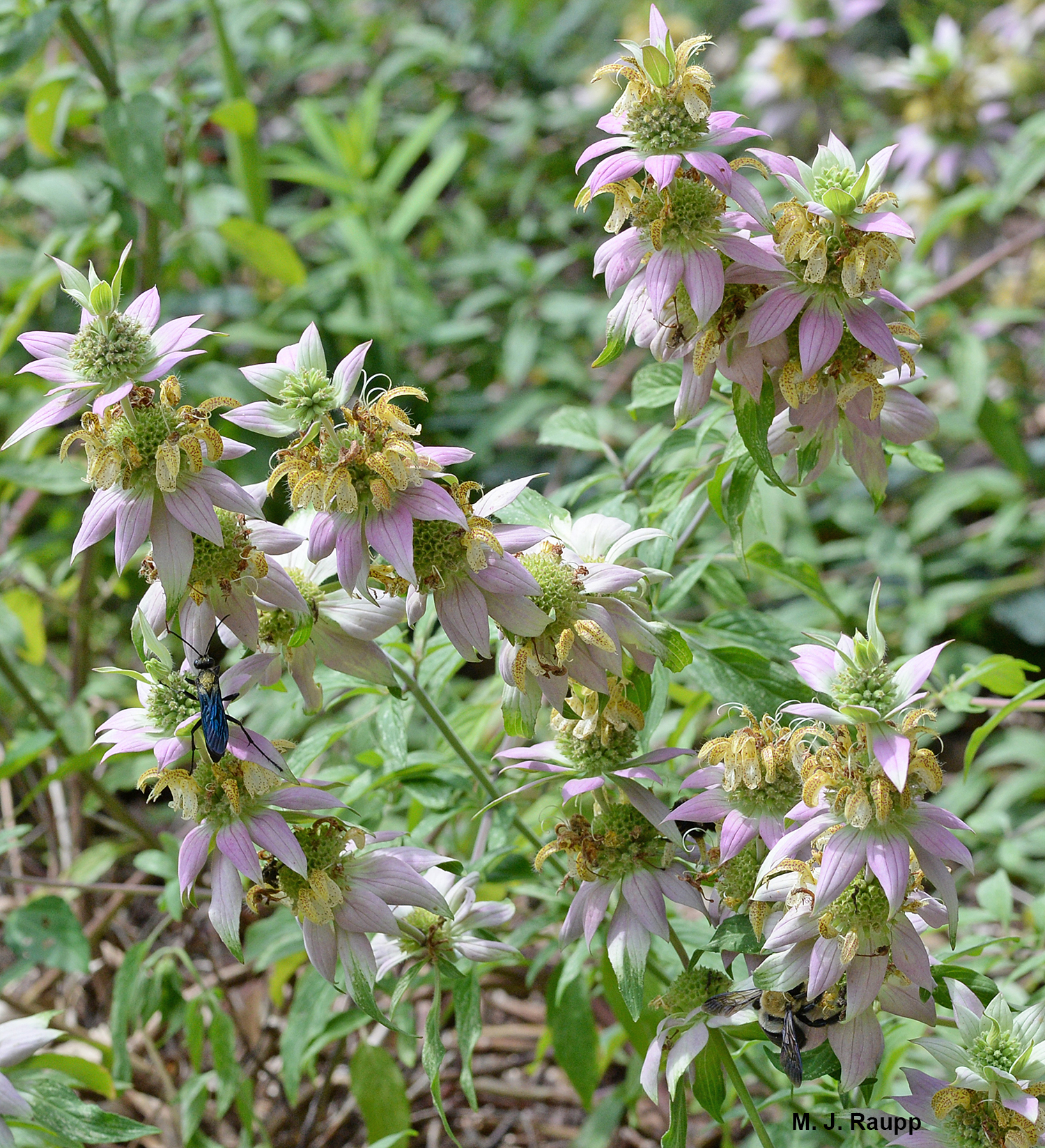 Spotted horsemint rocks with pollinators on late summer days.