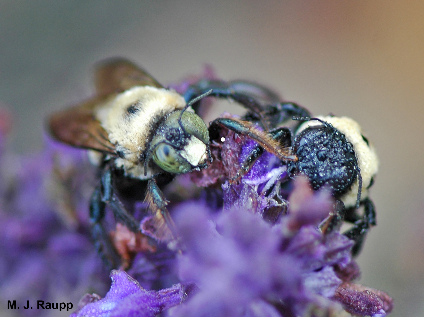 The morning dew glistens on the hairs of the yellow-faced male carpenter bee on the left and on the black-faced female carpenter bee on the right.
