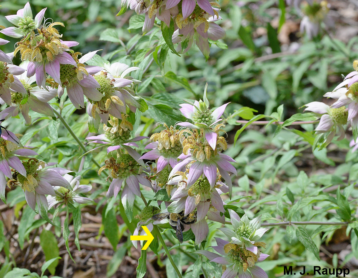This large patch of spotted horsemint serves as a nocturnal roost for many carpenter bees.