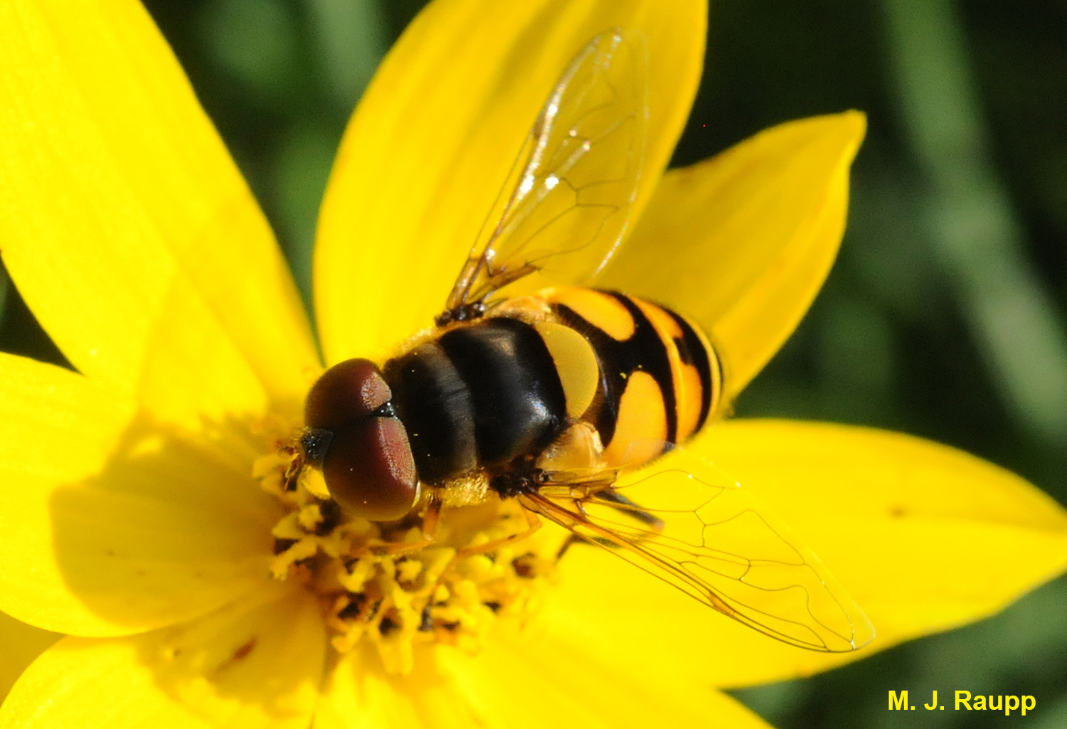 Bands of yellow brown on flower flies mimic those found on stinging insects. This may deter would be predators from attempting an attack on the harmless flower fly.