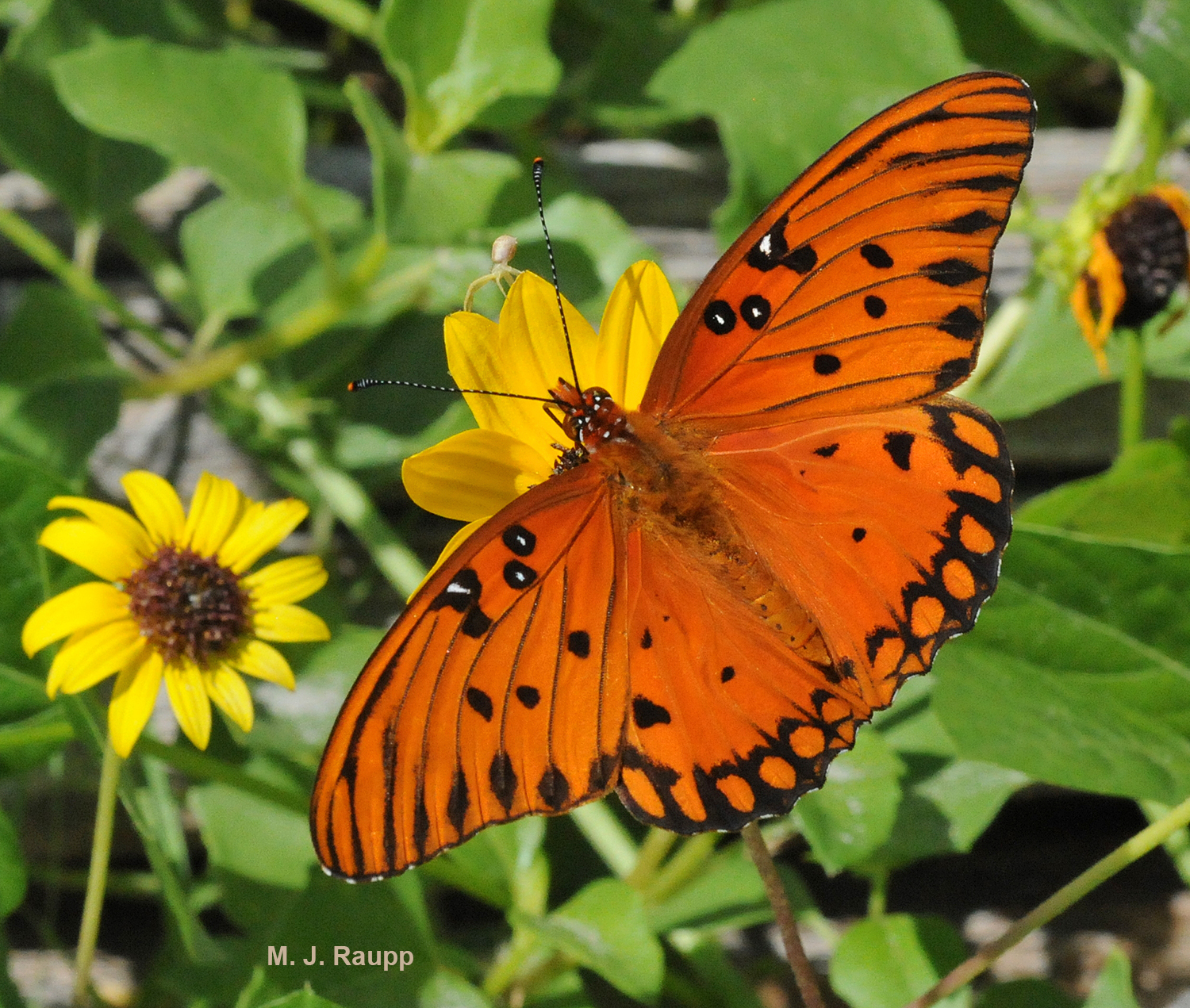 The gorgeous Gulf fritillary butterfly harbors a couple of unpleasant surprises for any would-be predator.
