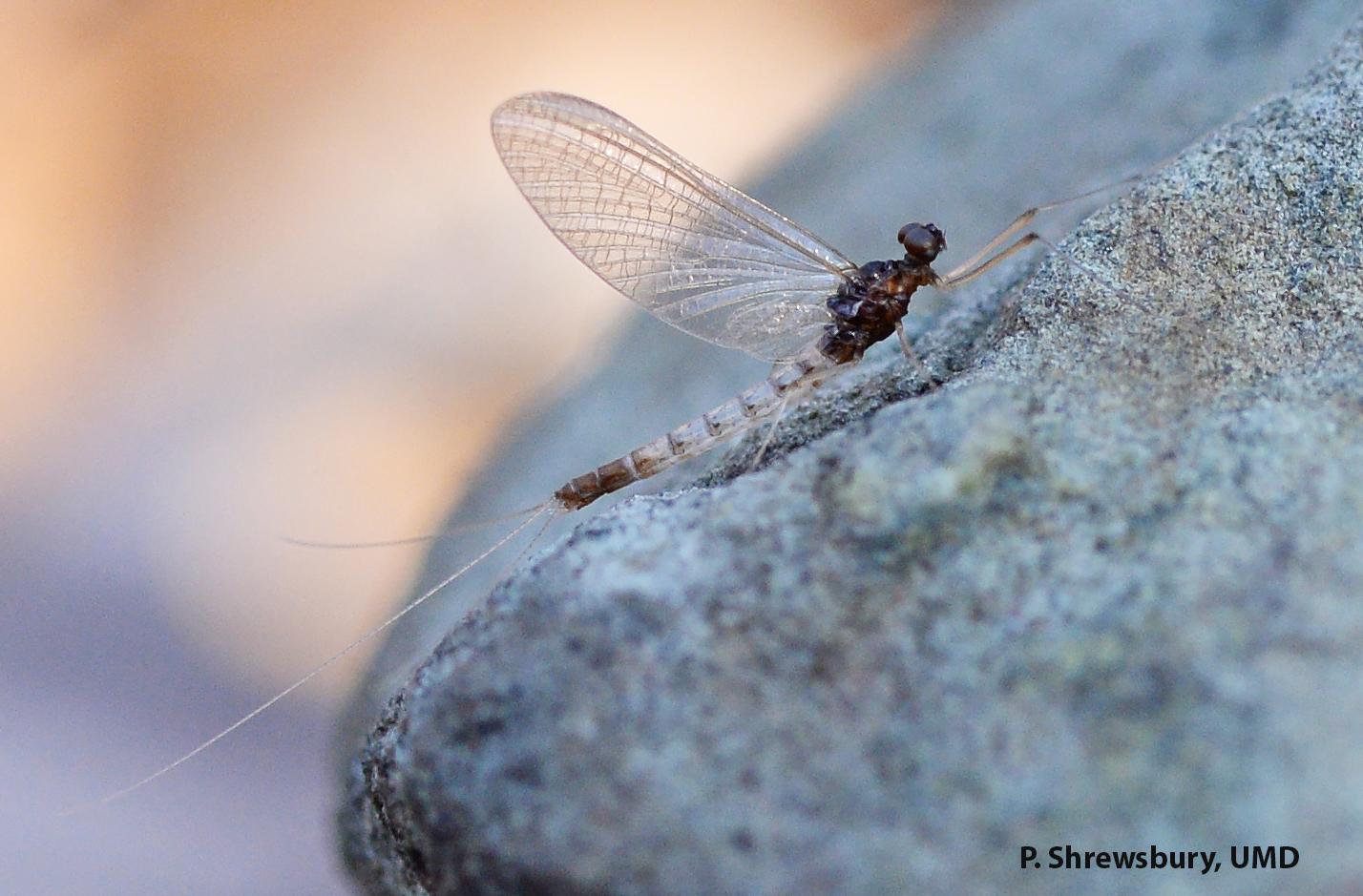 Beautiful but short lived mayfly adults survive only a matter of days.