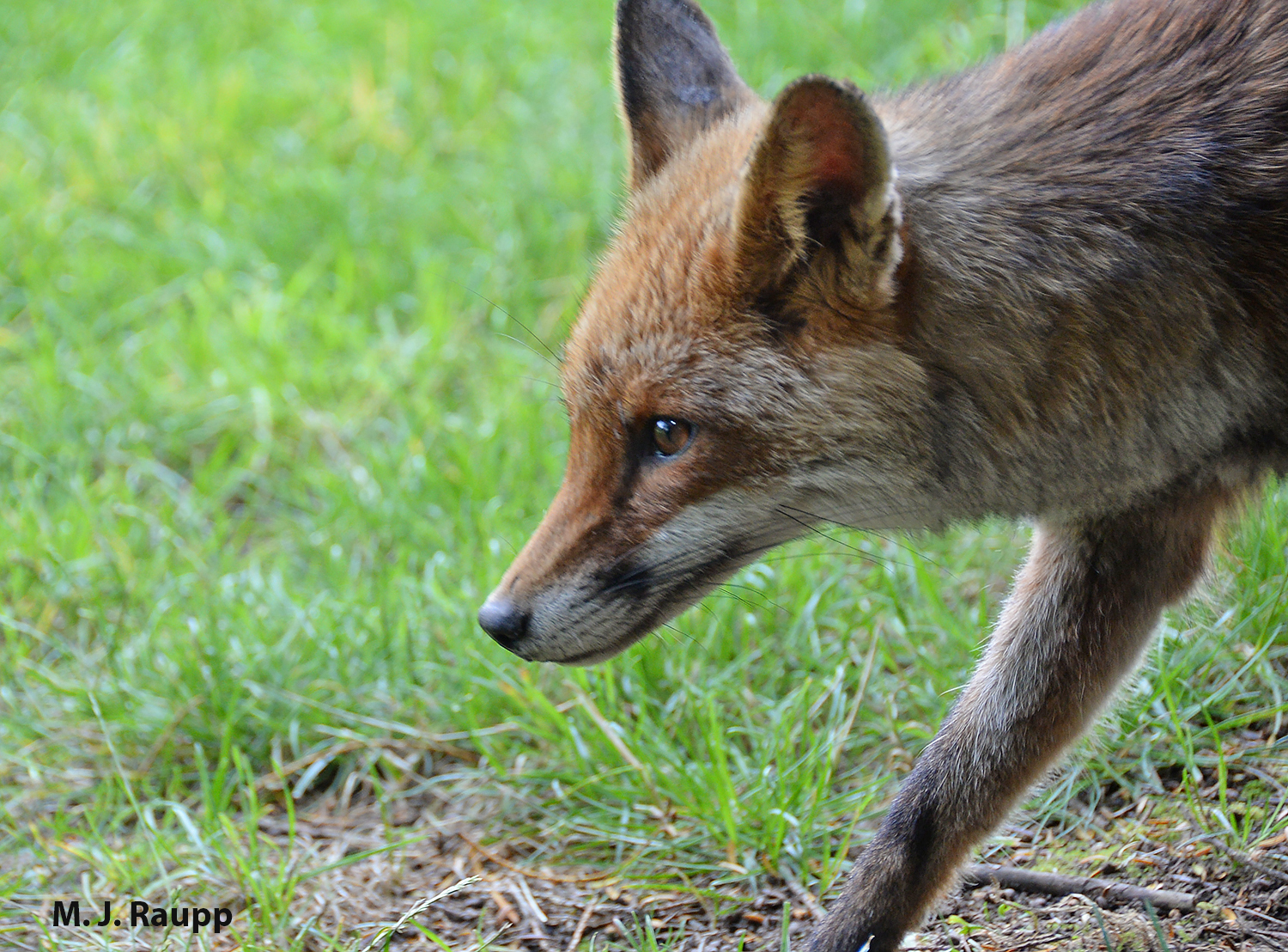Handsome red foxes will deposit the remains of small mammals like shrews in piles of scat.